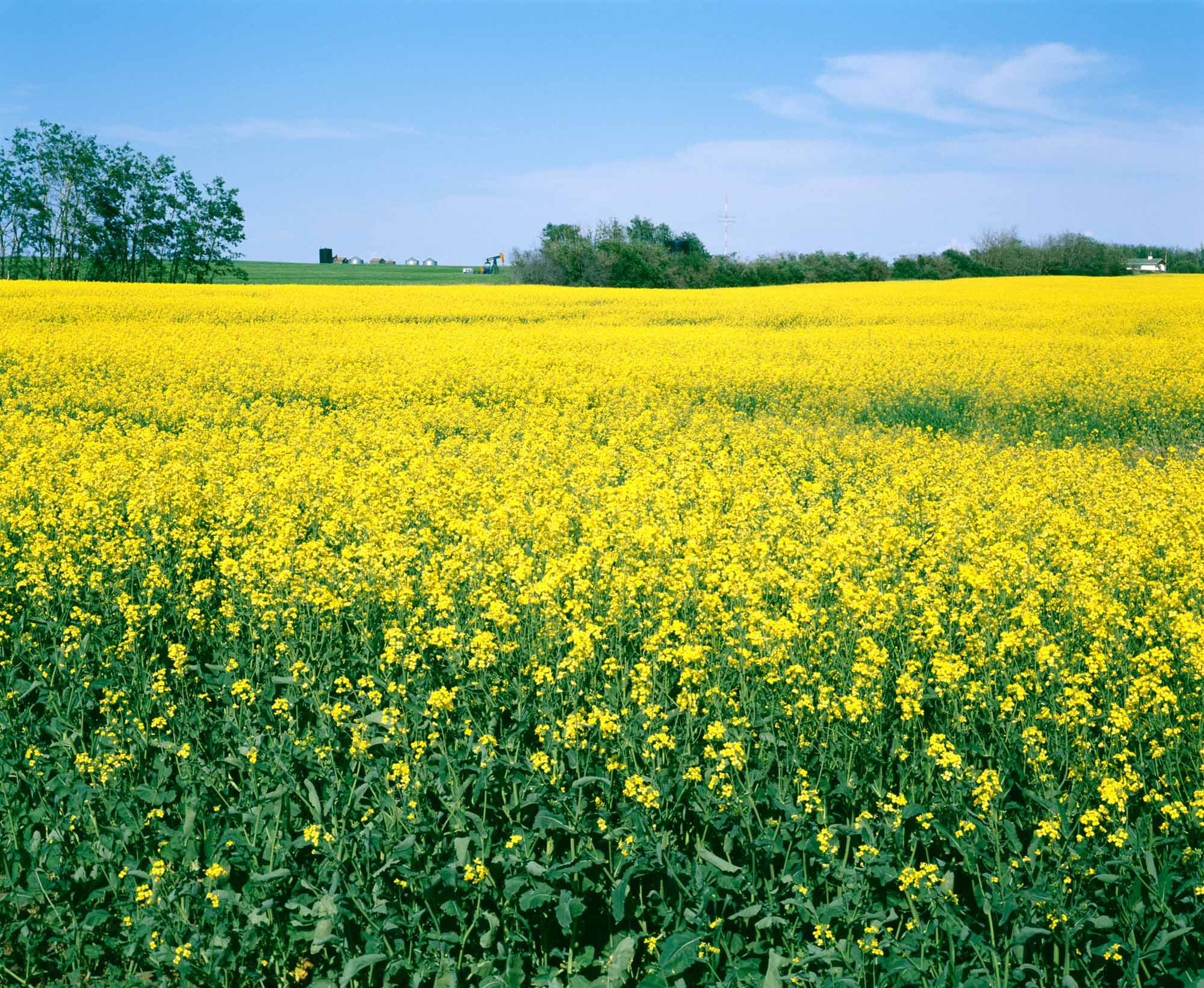 Oilseed field photo
