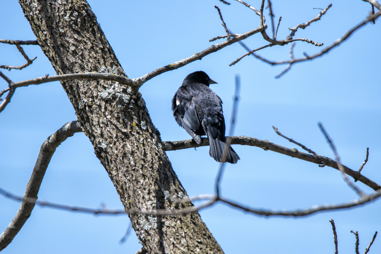 Oiseau (Carouge À Épaulettes) 615, A, Bird, Blackbird, Canada, HQ Photo