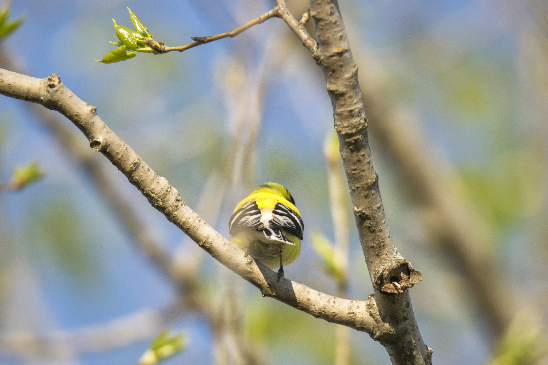 Oiseau (Chardonneret Jaune) 221, American, Bird, Canada, Goldfinch, HQ Photo