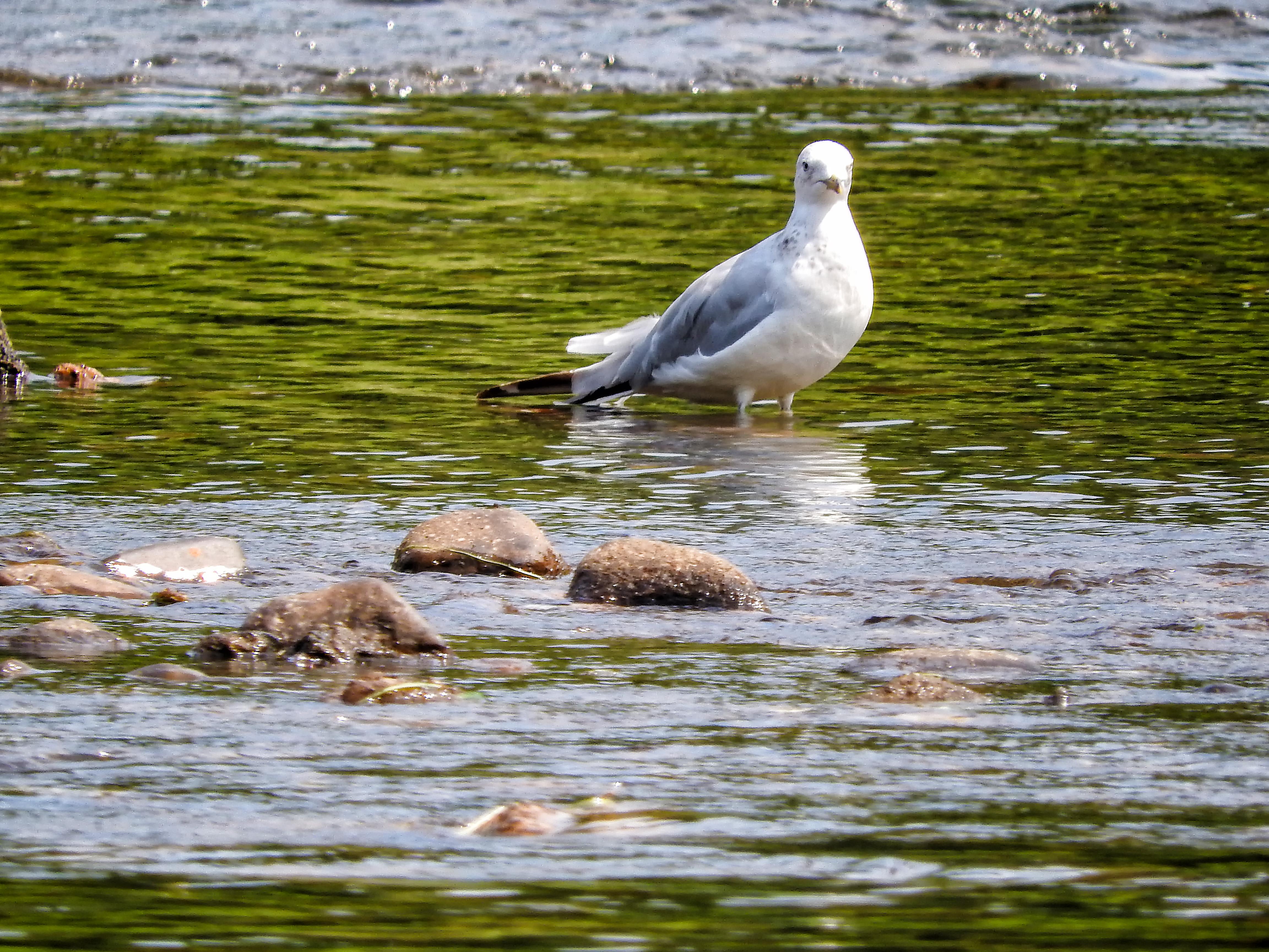 Oiseau (Goéland À Bec Cerclé) 046, A, Bec, Billed, Bird, HQ Photo