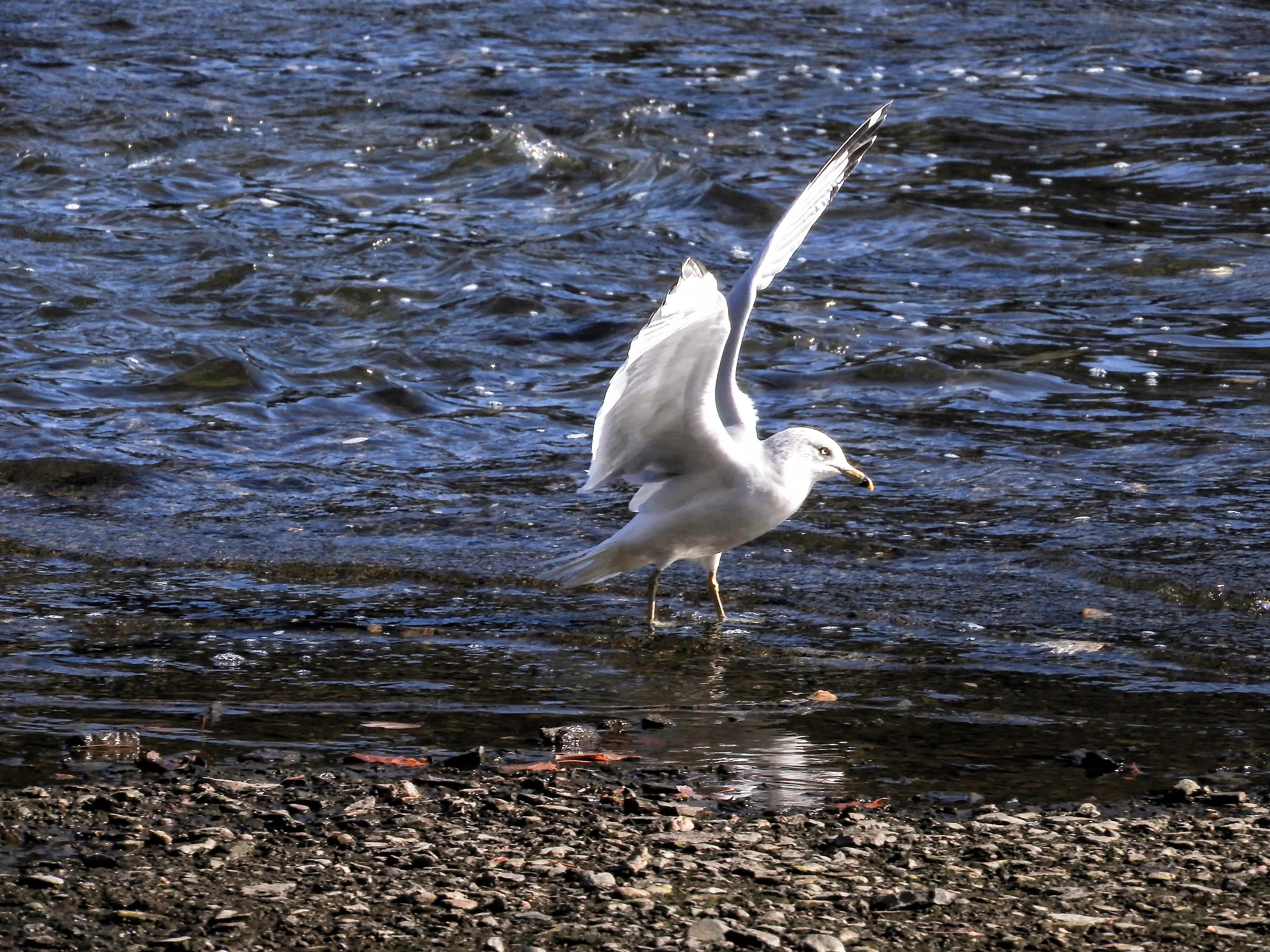 Oiseau (goéland À bec cerclé) 052 photo