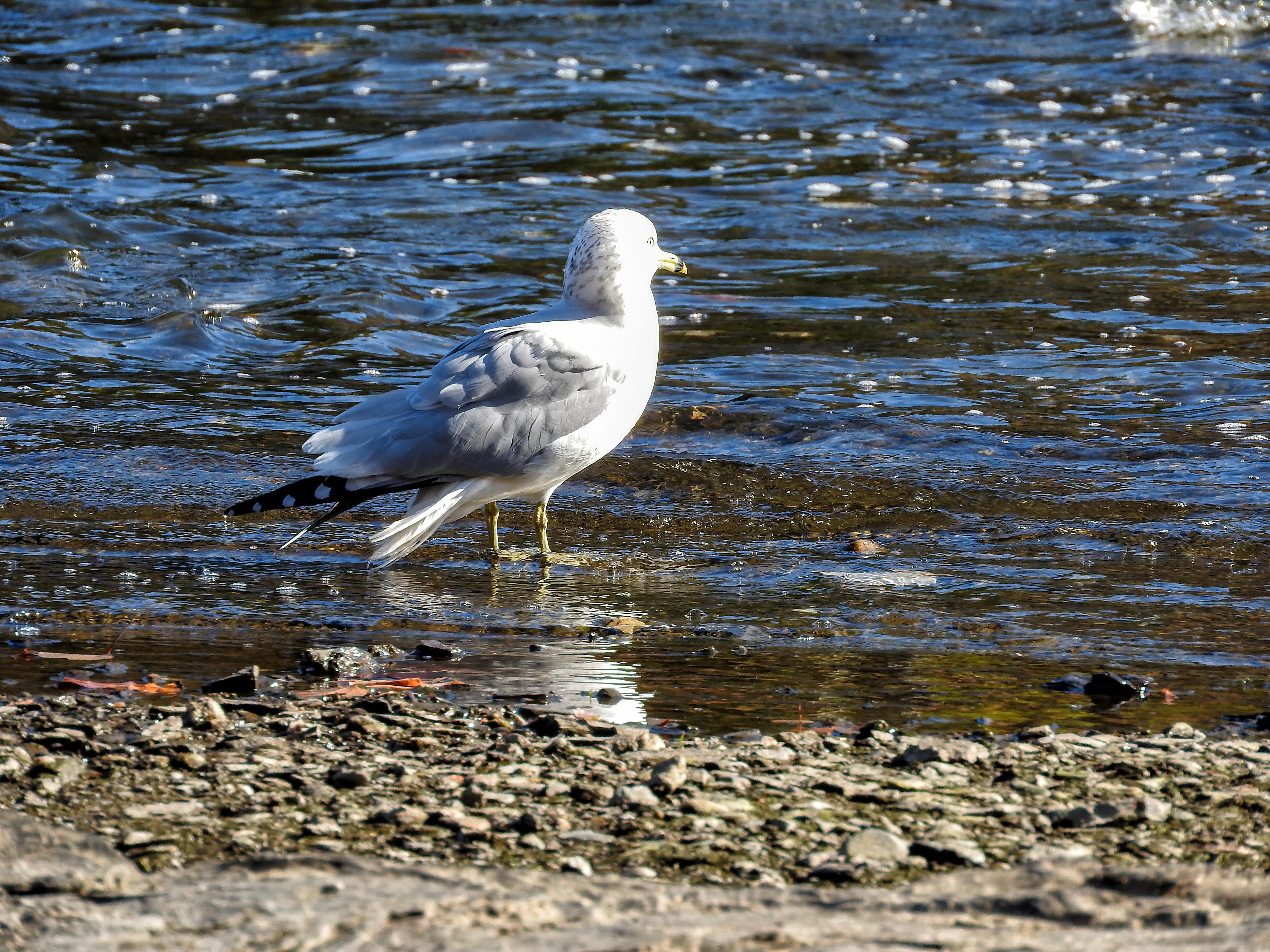 Oiseau (goéland À bec cerclé) 053 photo