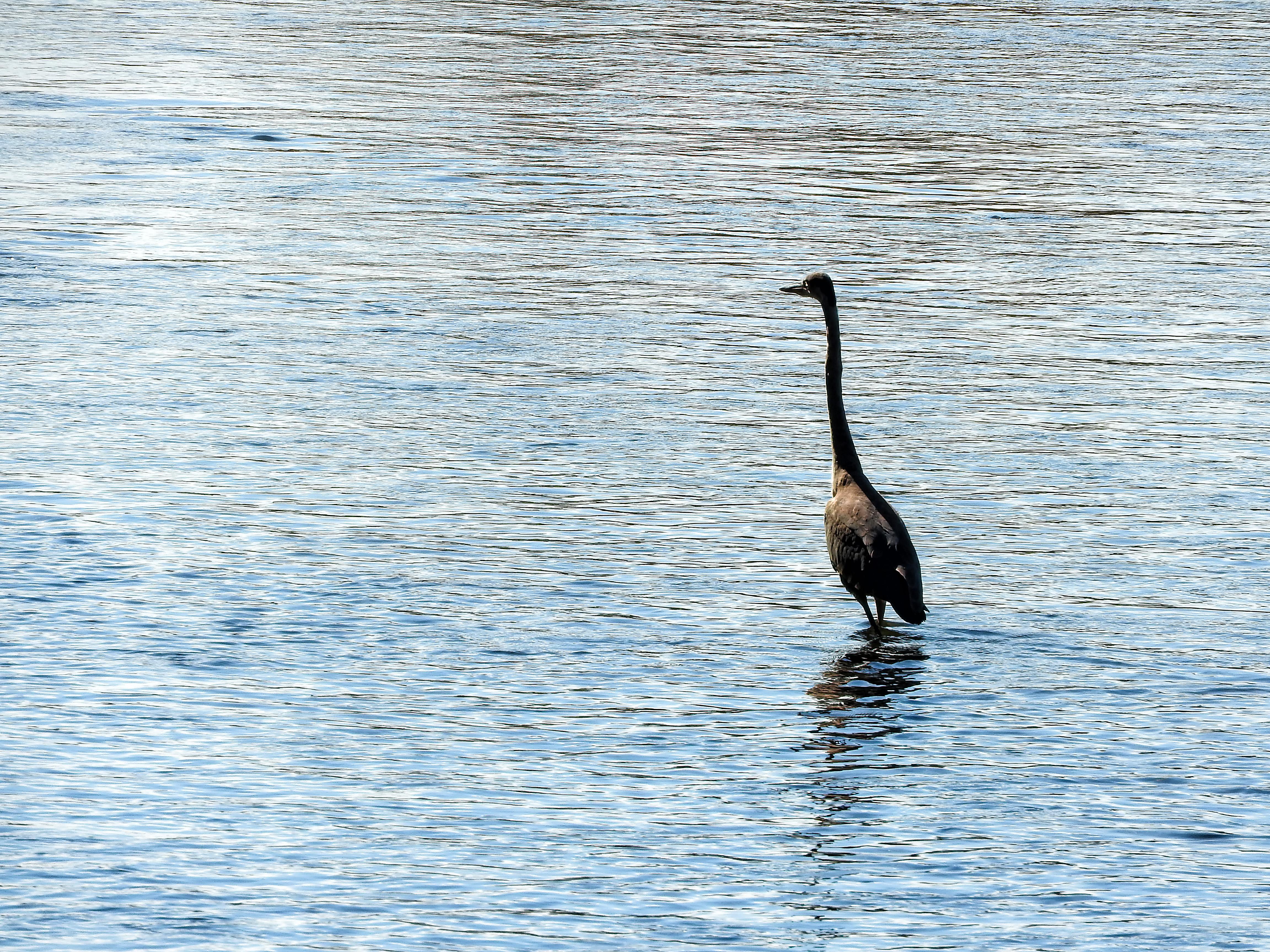 Oiseau (grand héron) 179 photo