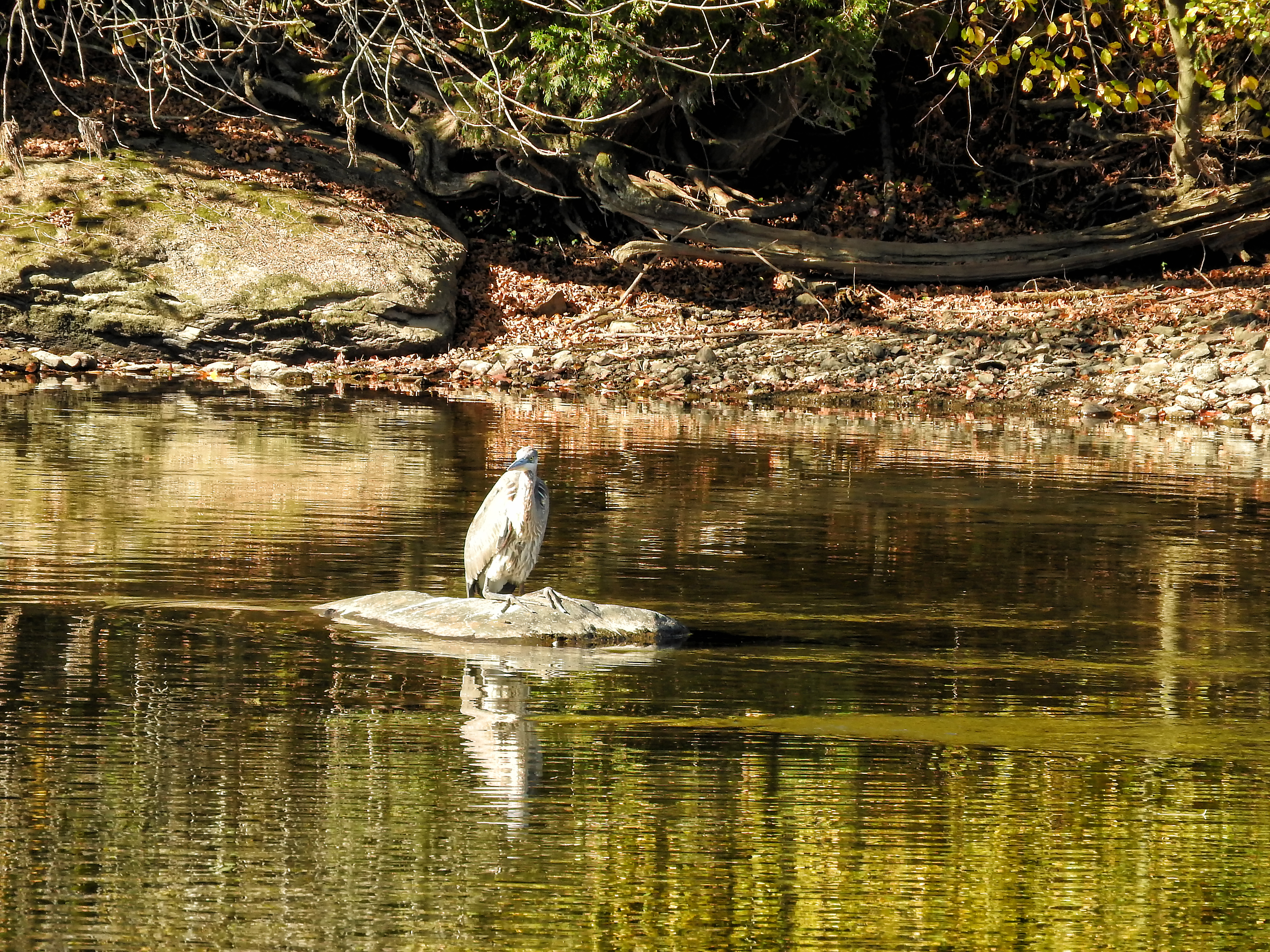 Oiseau (grand héron) 207 photo