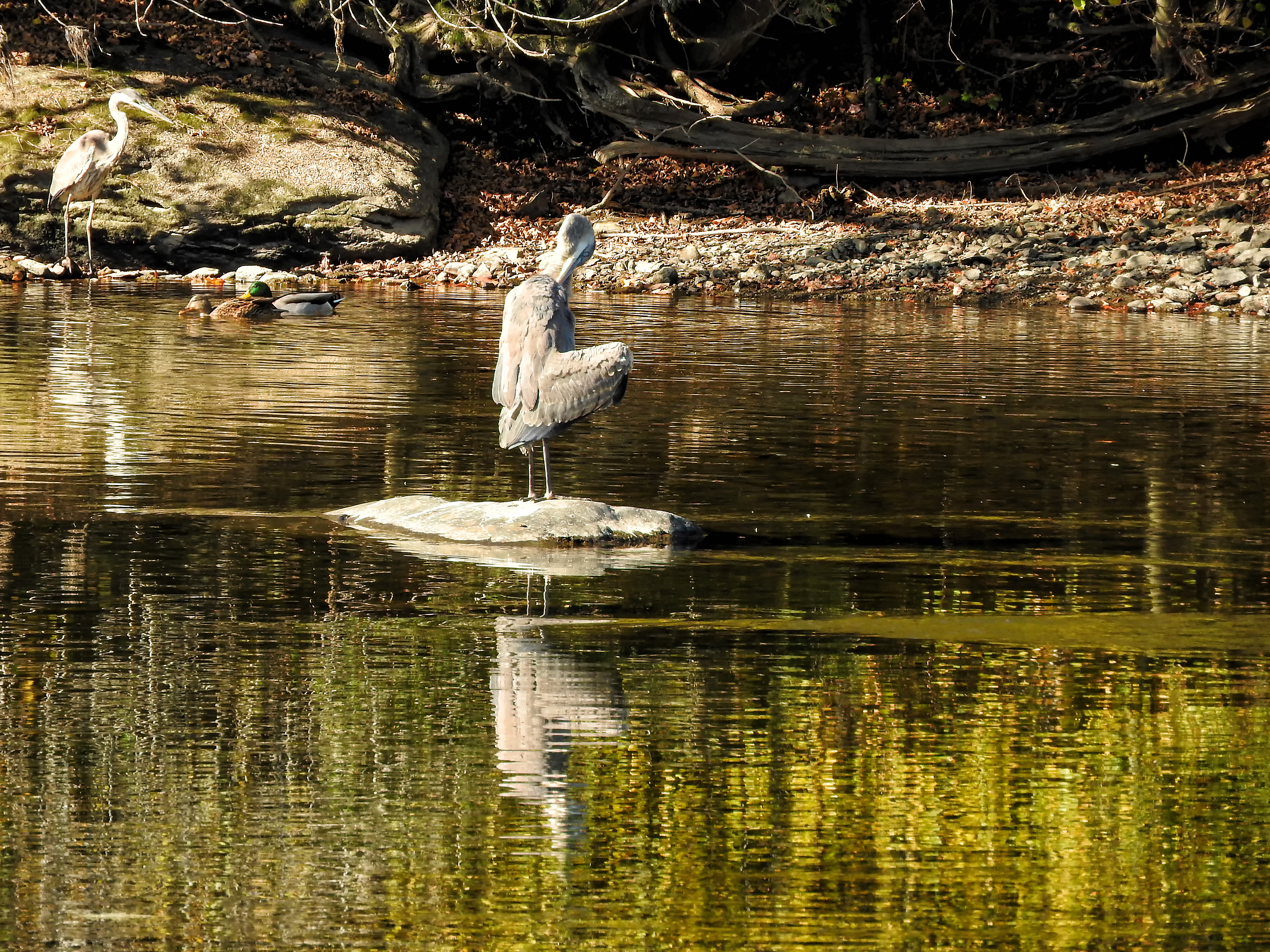 Oiseau (grand héron) 212 photo