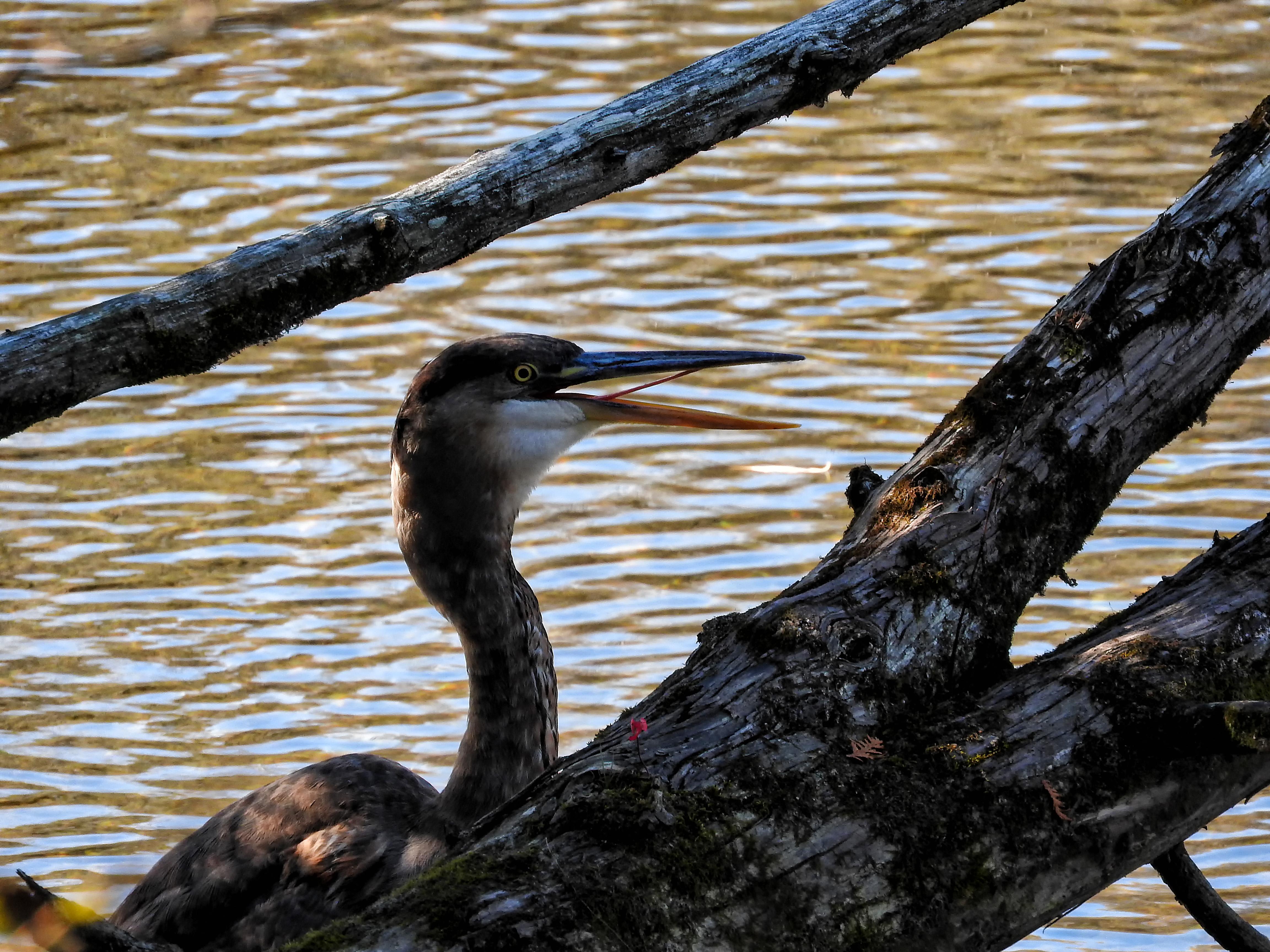 Oiseau (grand héron) 227 photo