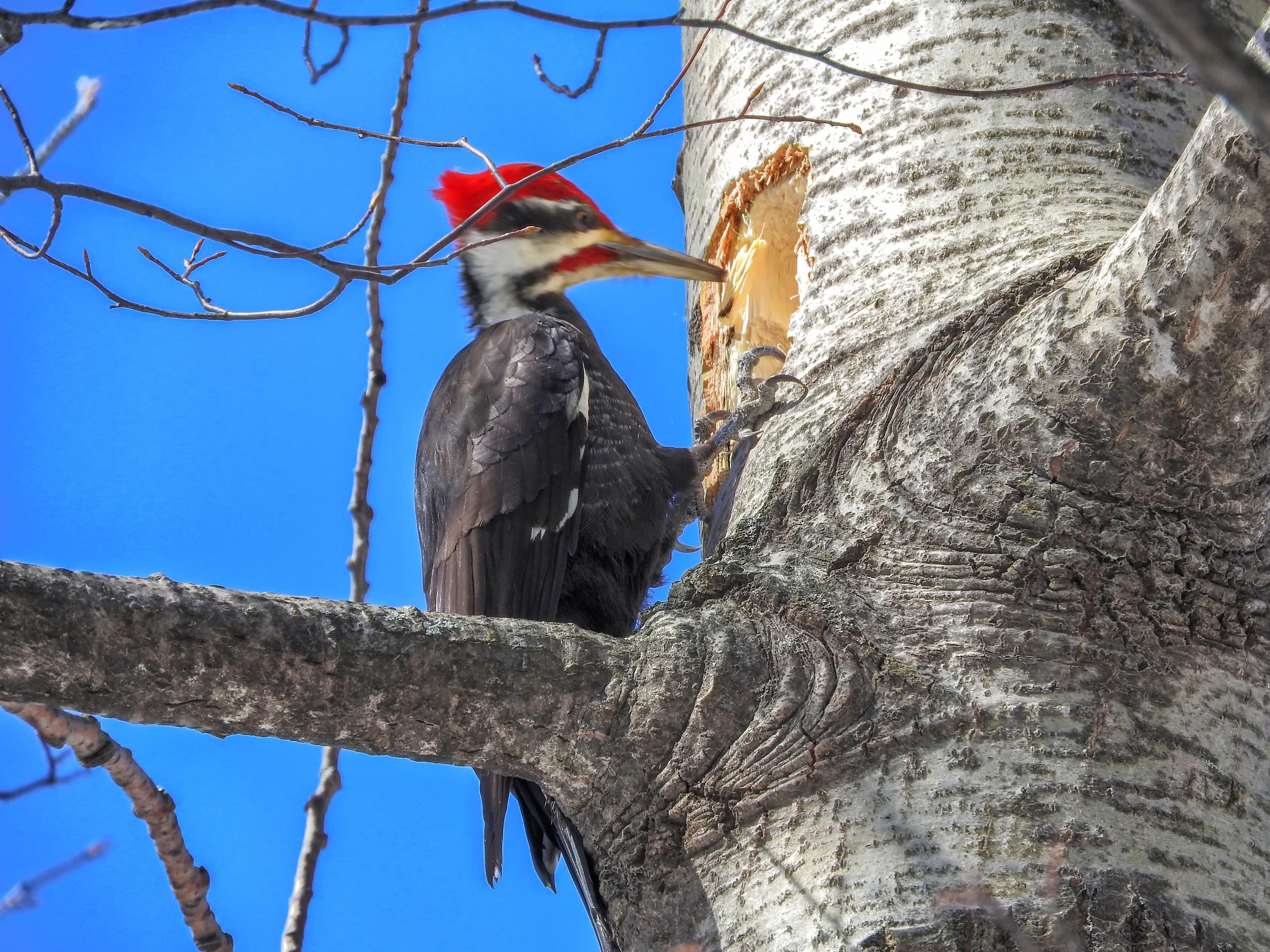 Oiseau (grand pic) 027 photo