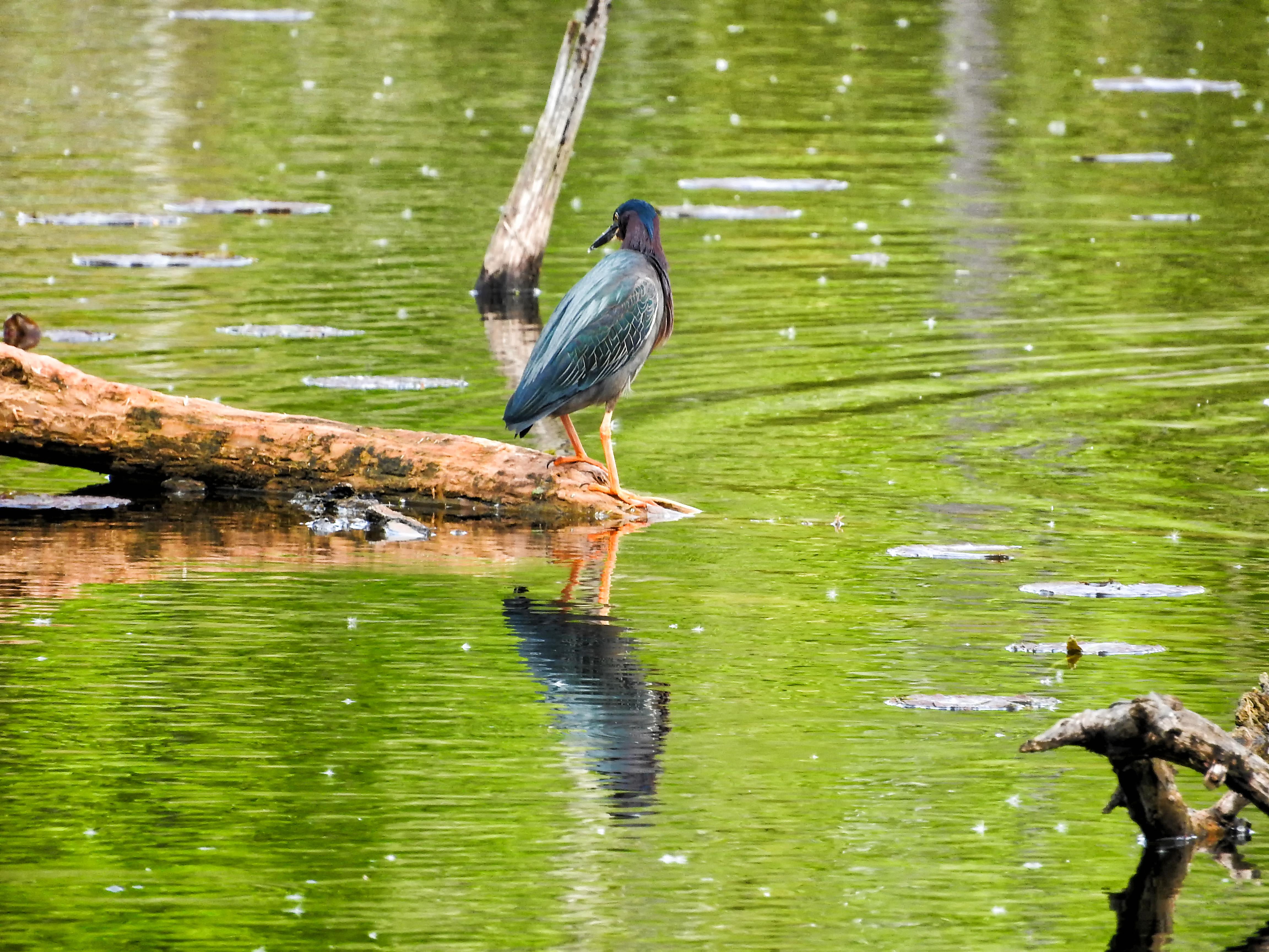 Oiseau (héron vert) 1105 photo