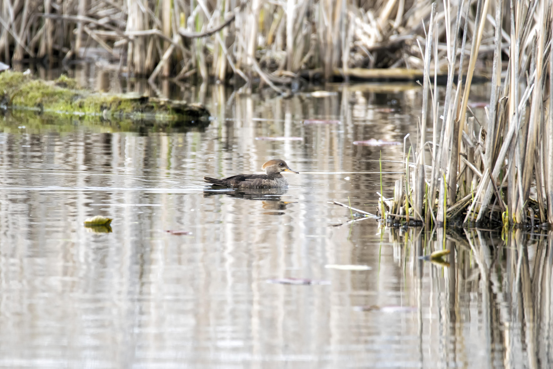 Oiseau (Harle Couronné) 075, Bird, Canada, Couronné, Harle, HQ Photo