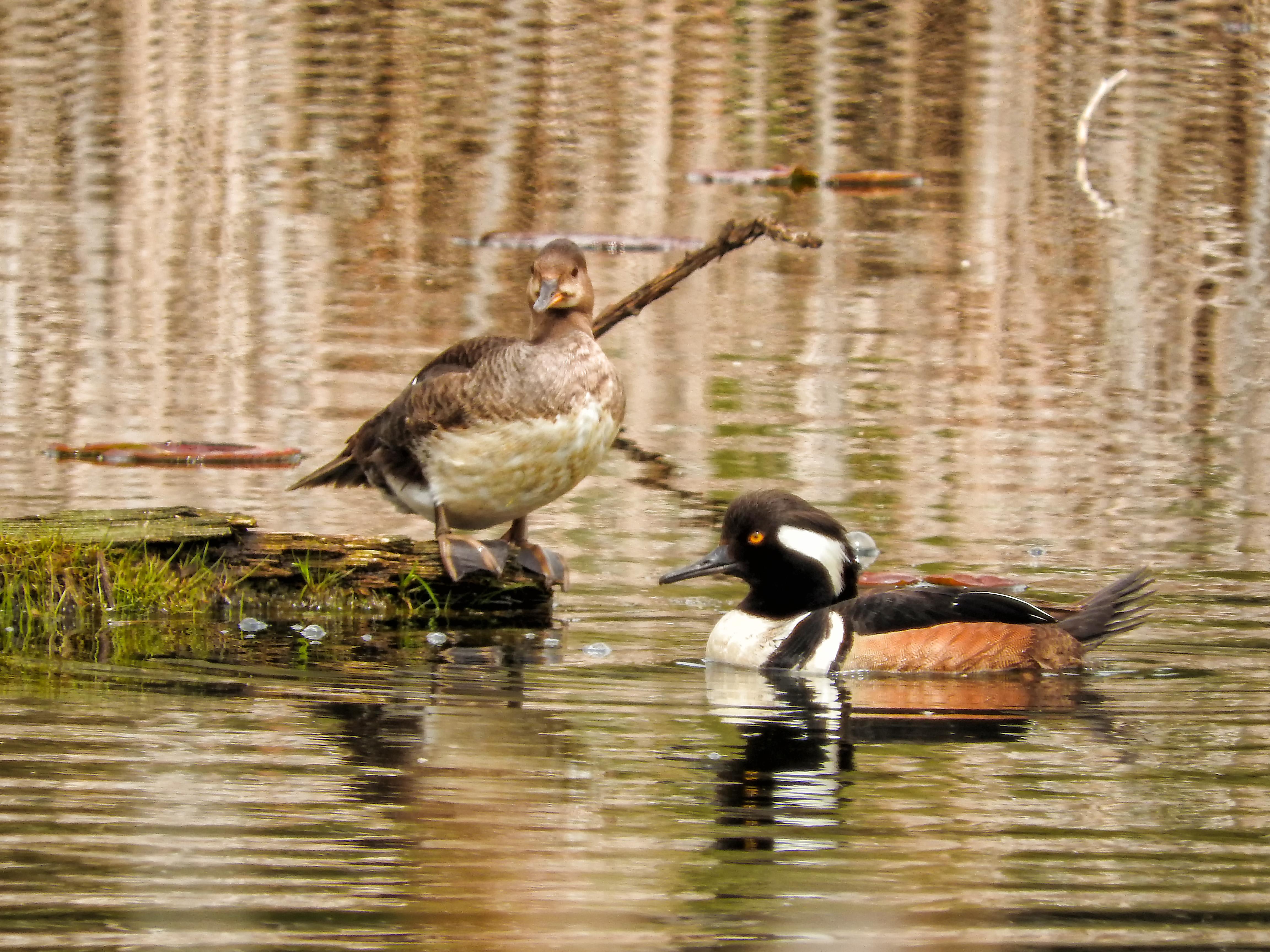 Oiseau (harle couronné) 076 photo