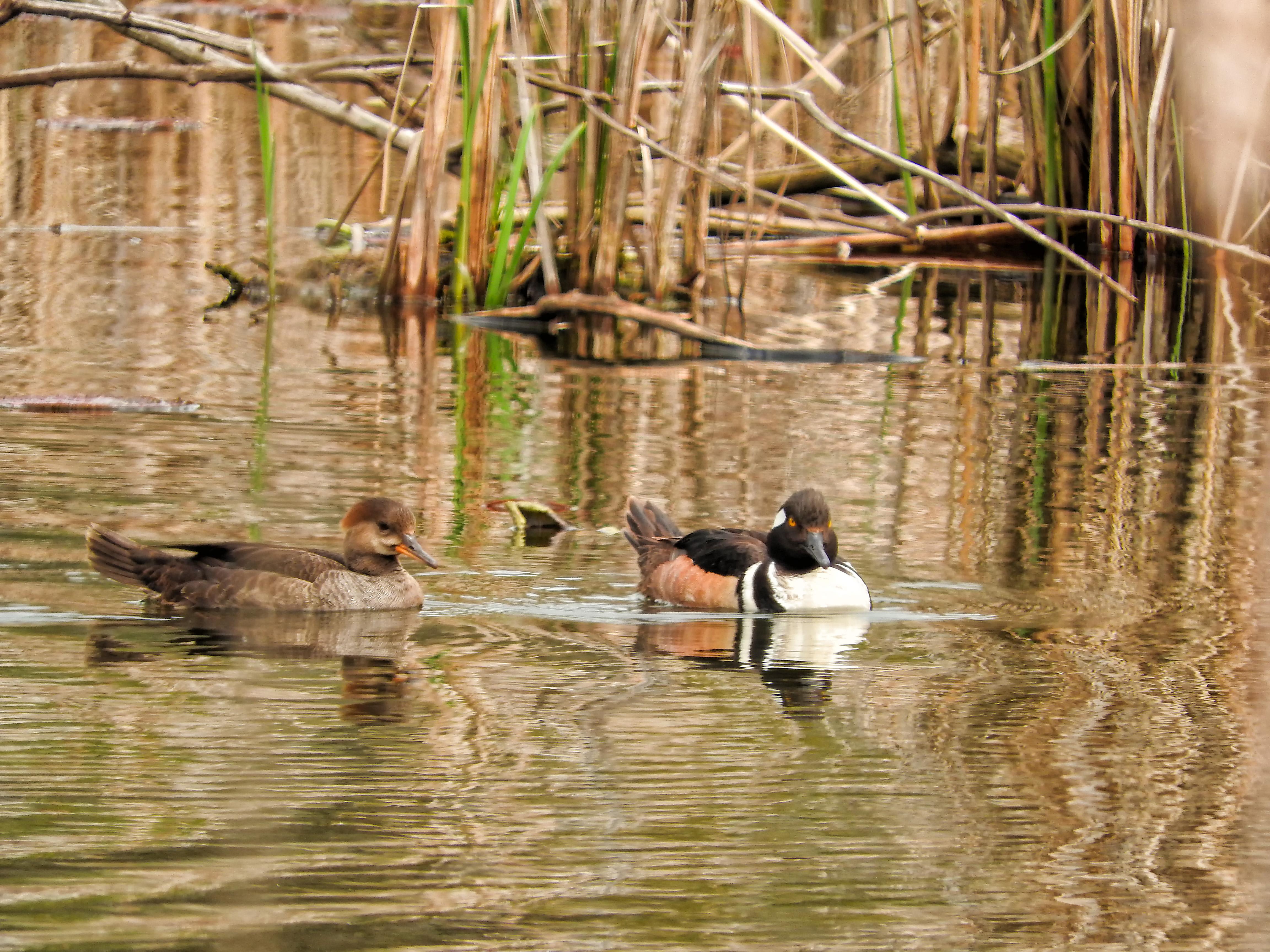Oiseau (harle couronné) 078 photo