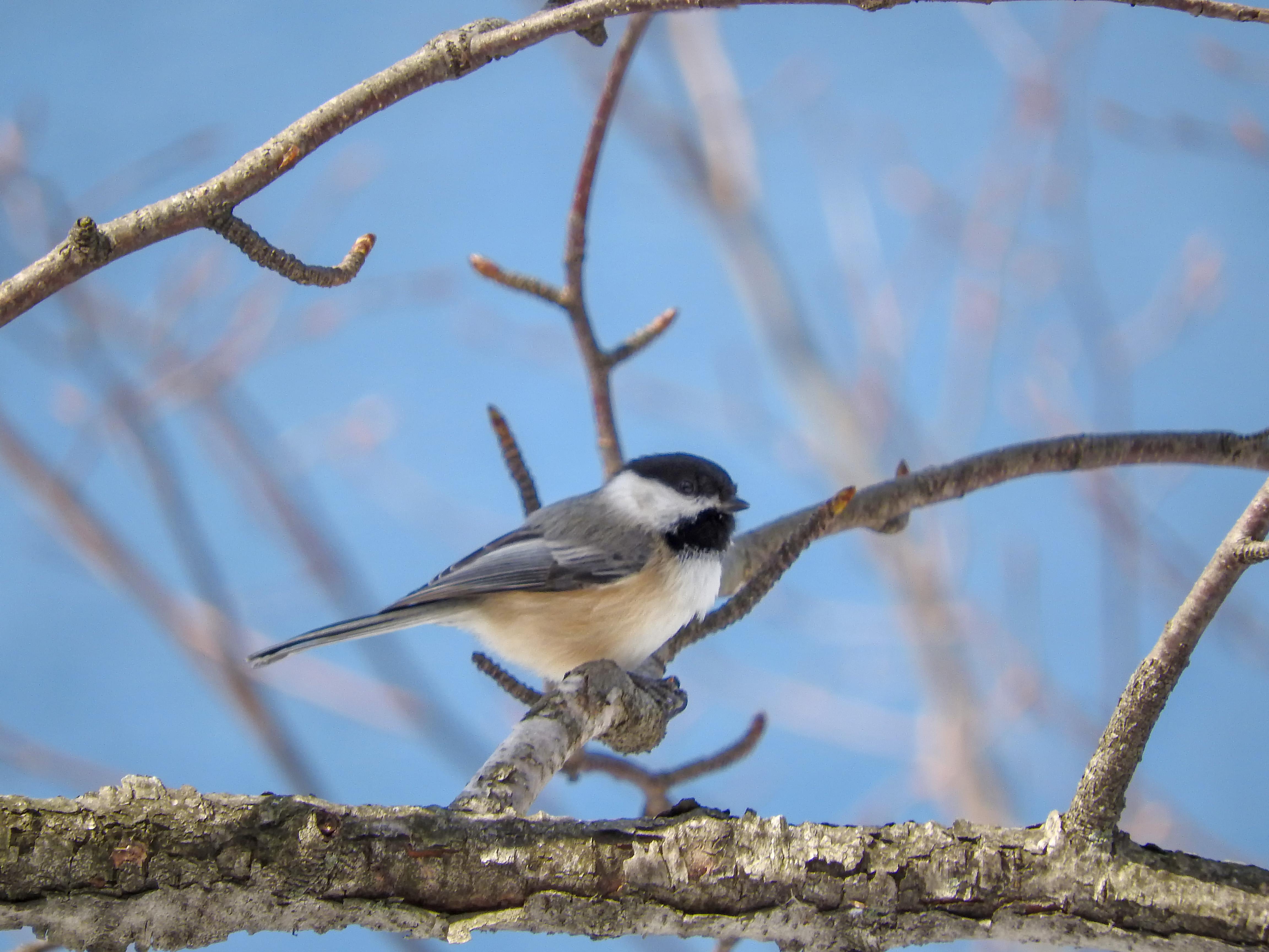 Oiseau (mésange À tête noire) 170 photo
