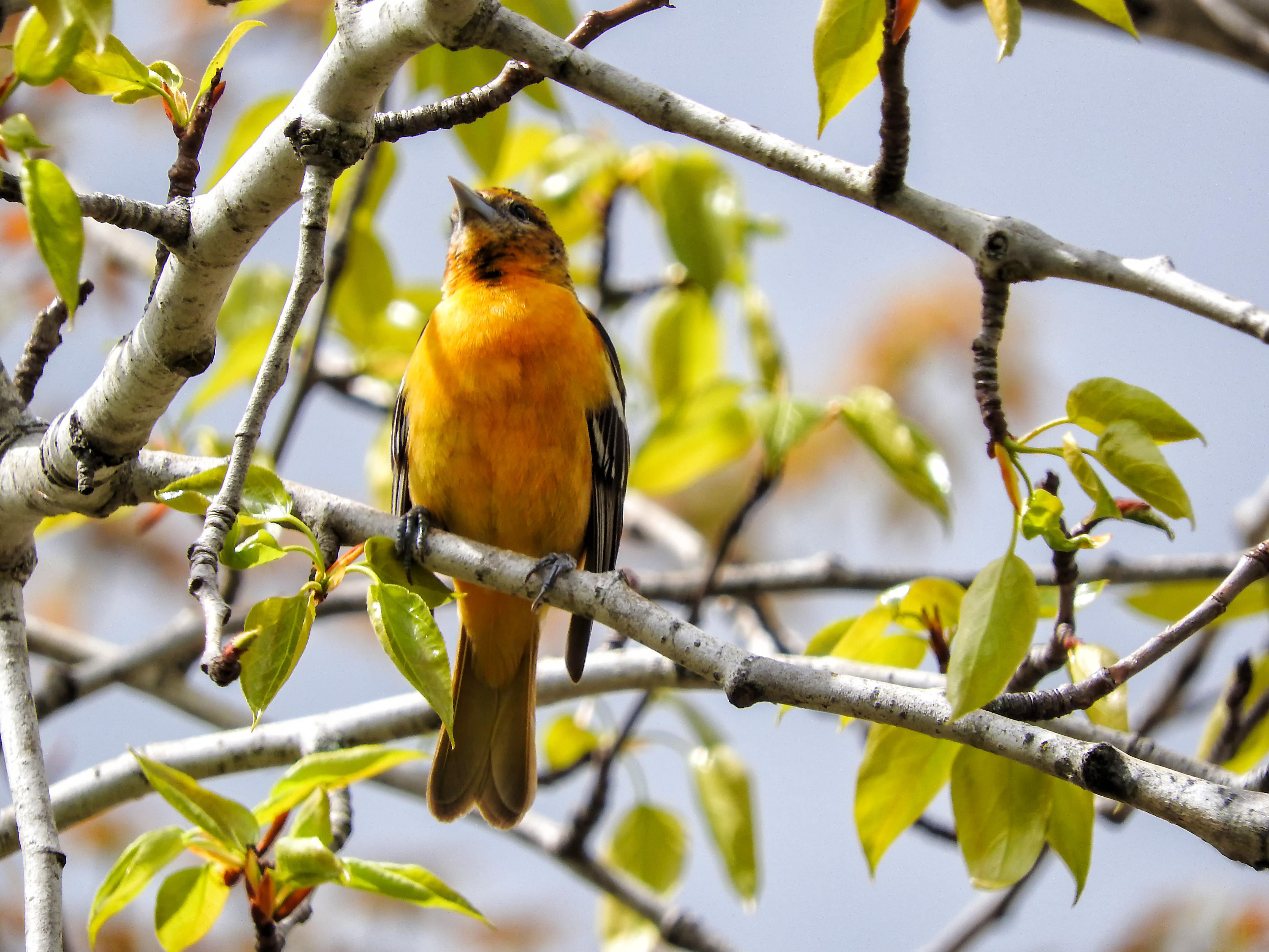 Oiseau (oriole de baltimore) 130 photo