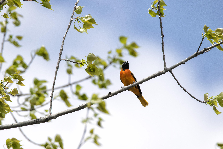 Oiseau (oriole de baltimore) 147 photo