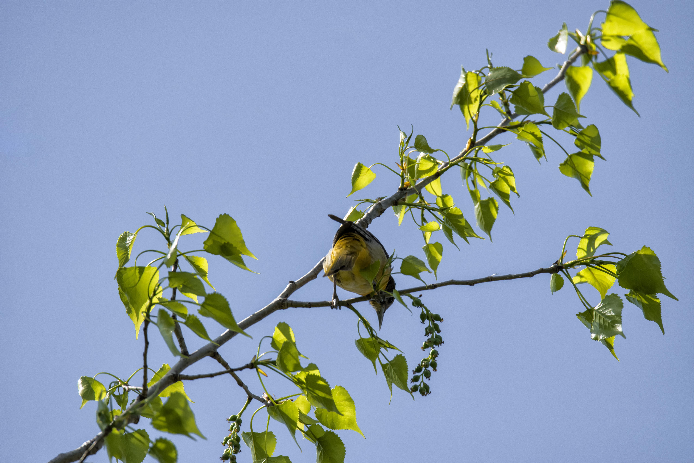 Oiseau (oriole de baltimore) 234 photo