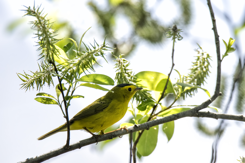Oiseau (paruline À calotte noire) 006 photo