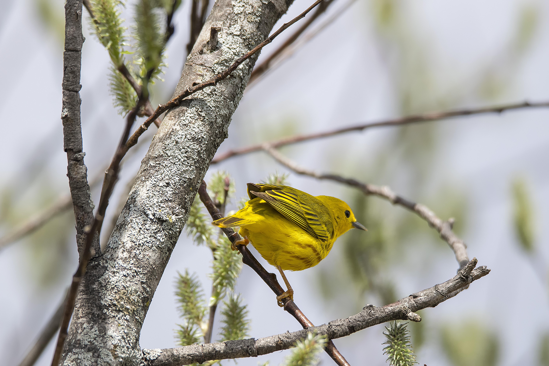 Oiseau (Paruline Jaune) 124, Bird, Canada, Jaune, Oiseau, HQ Photo
