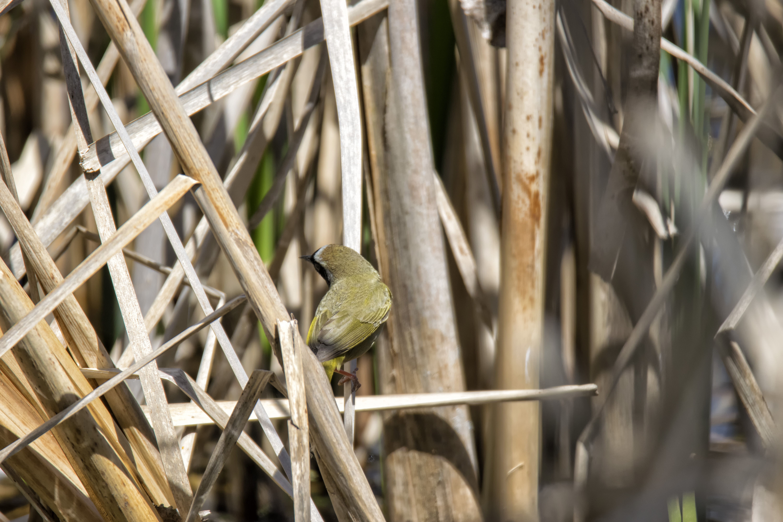 Oiseau (paruline masquée) 056 photo