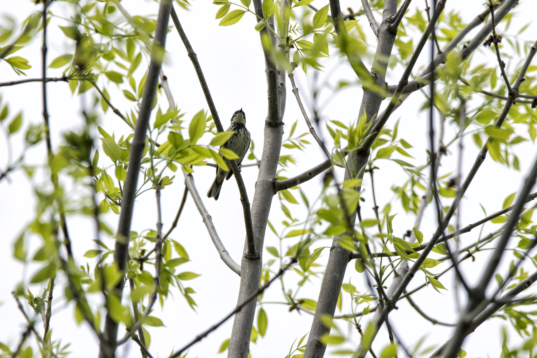Oiseau (paruline noir et blanc) 001 photo