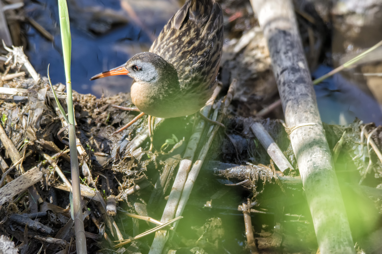 Oiseau (râle de virginie) 030 photo