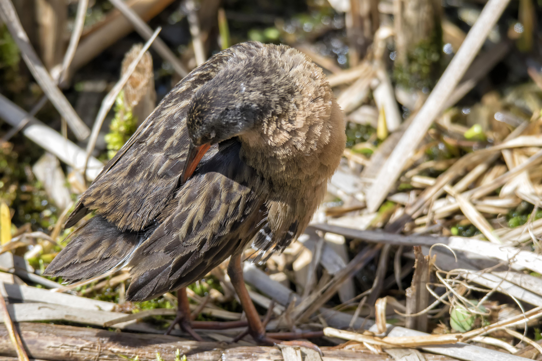 Oiseau (râle de virginie) 041 photo