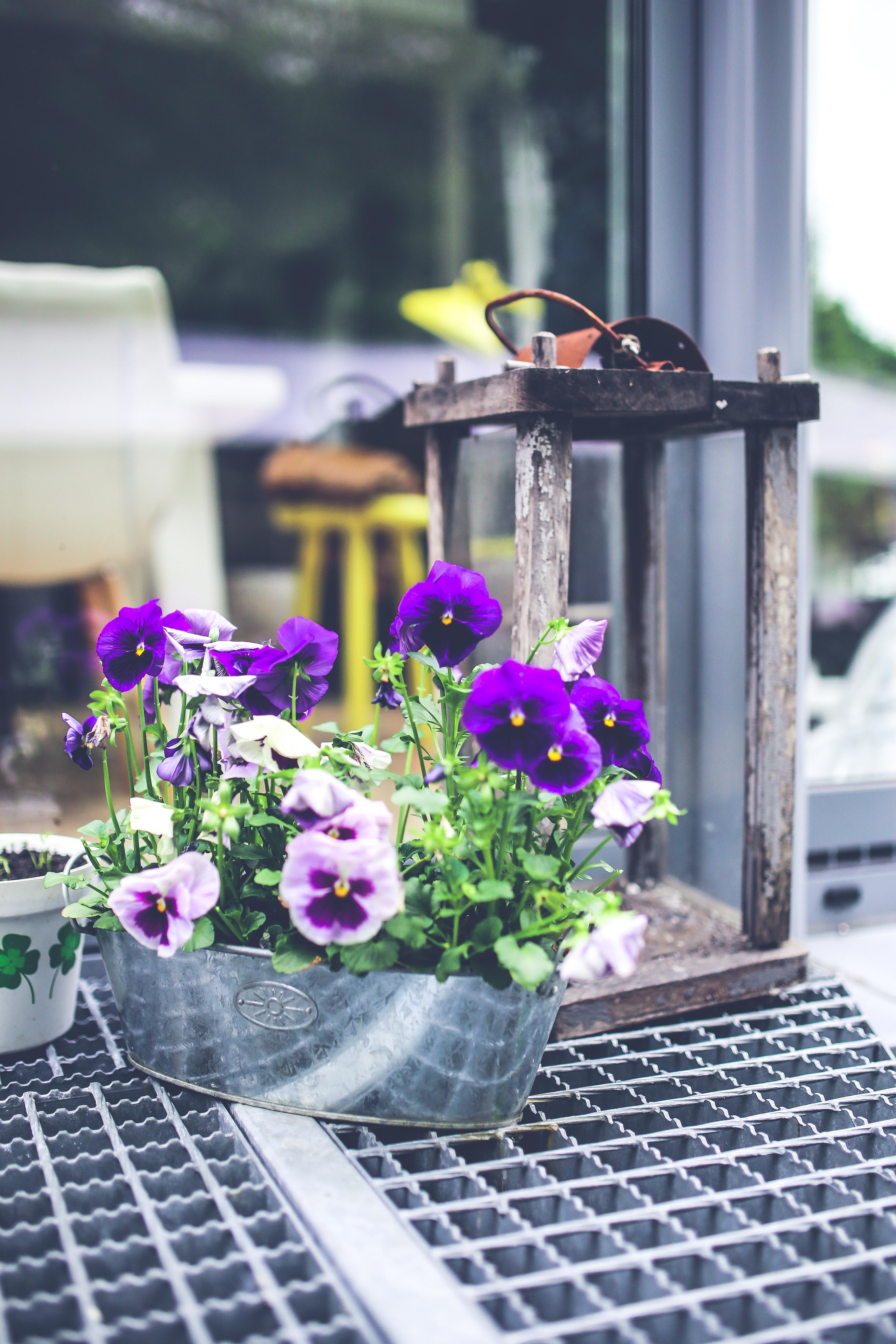 Old lantern & pansies photo