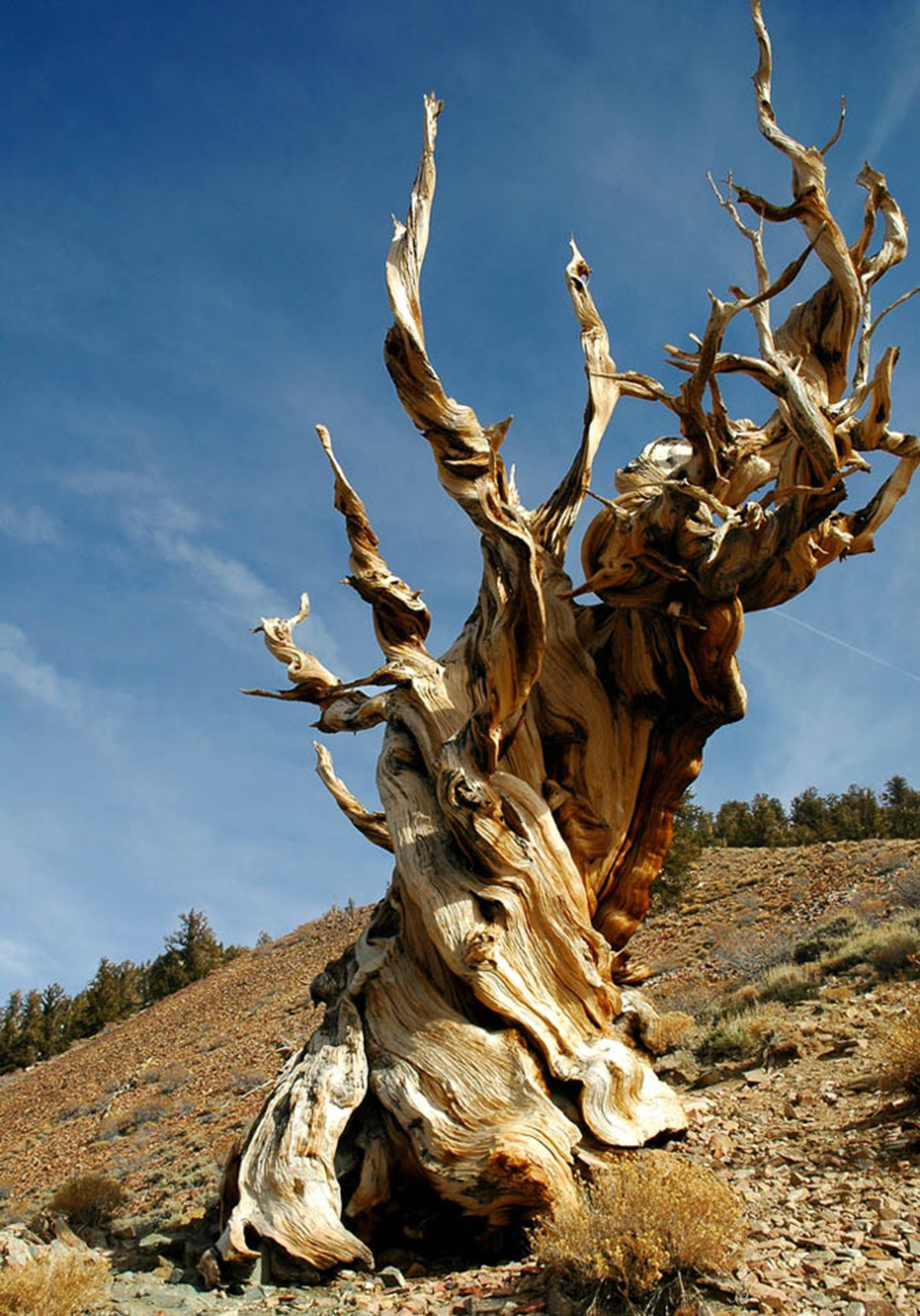 These Are the Oldest Trees on the Planet | WIRED
