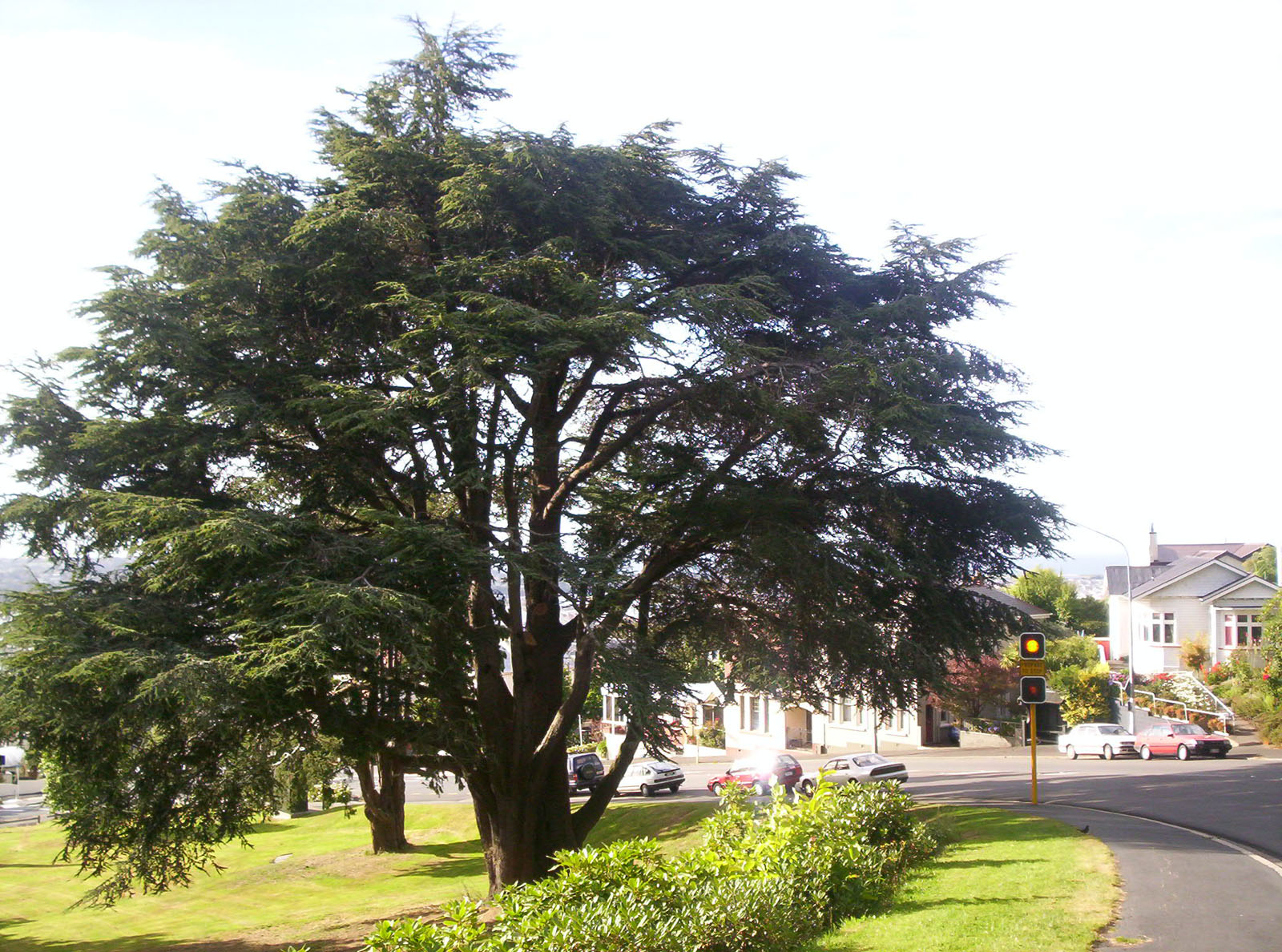 Old Tree, Arthur, Branches, Bspo06, Cones, HQ Photo