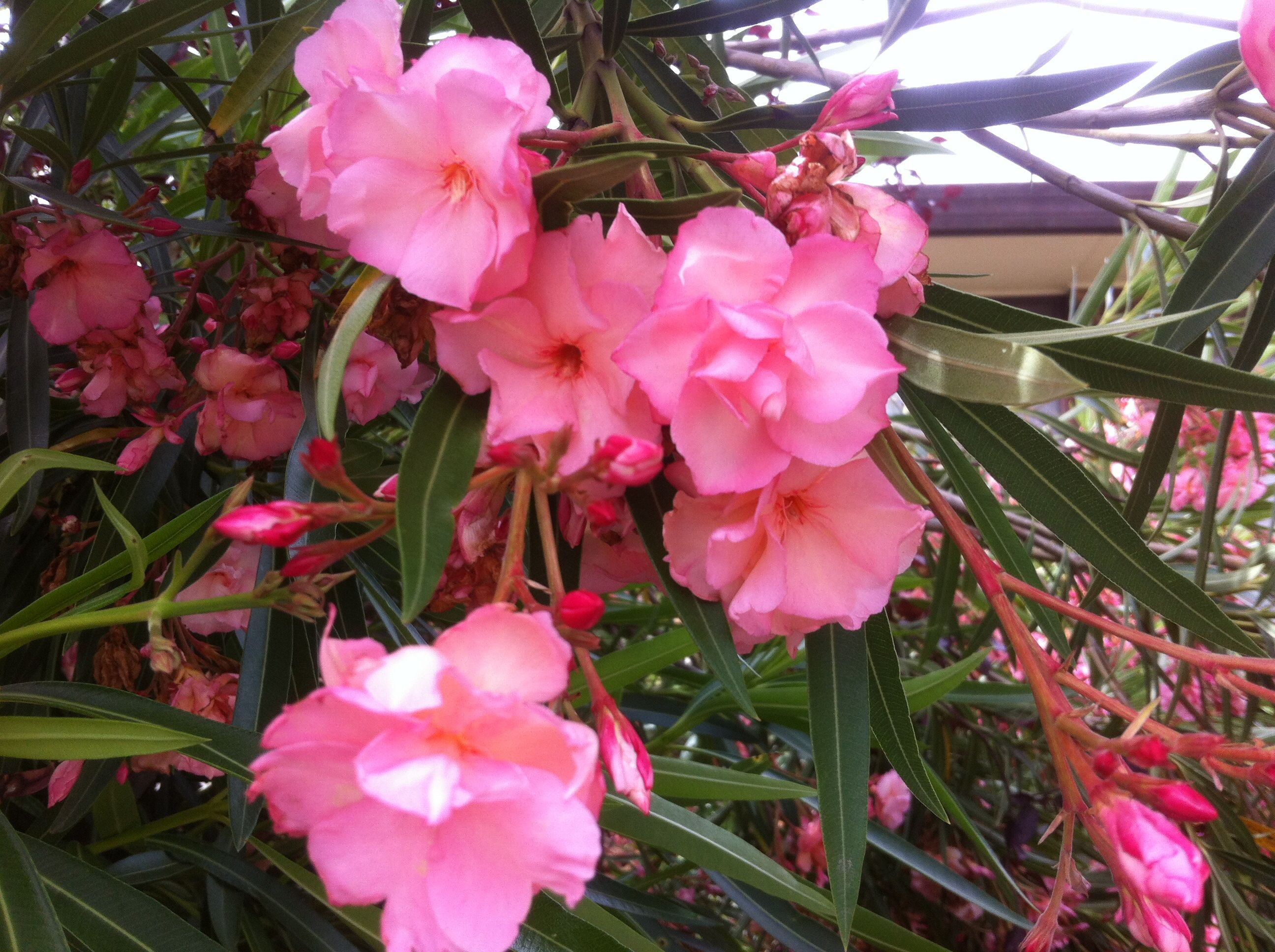 Nerium splendens dwarf/compact Double pink Oleander. Evergreen small ...