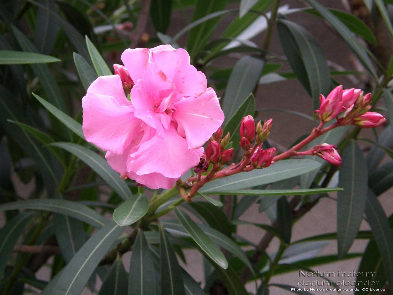 Medicinal Plants: Nerium indicum Nerium oleander Kaner Alari Ganneru ...