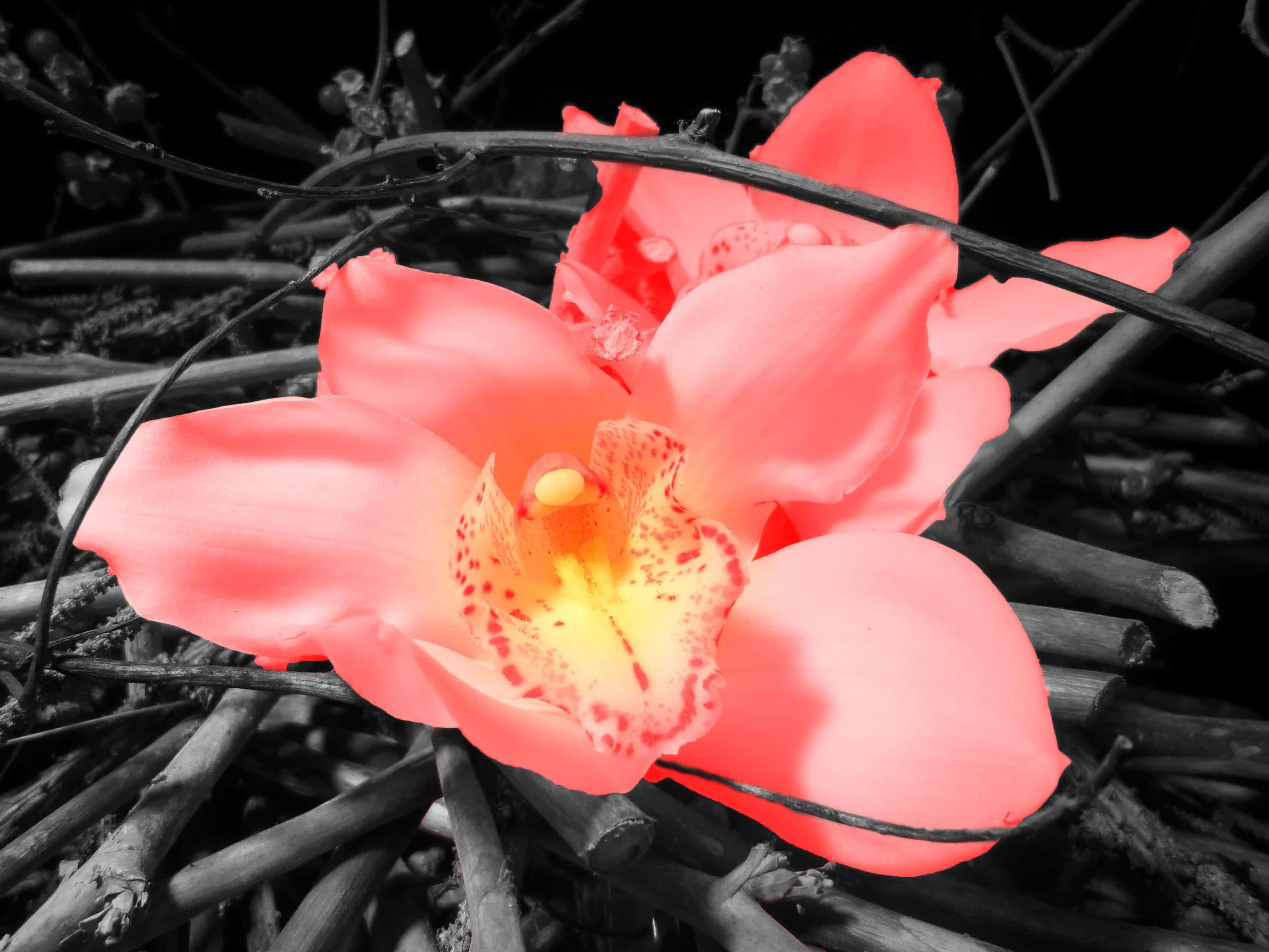 Free picture: flower, plant, petal, oleander, pink, rose, ground