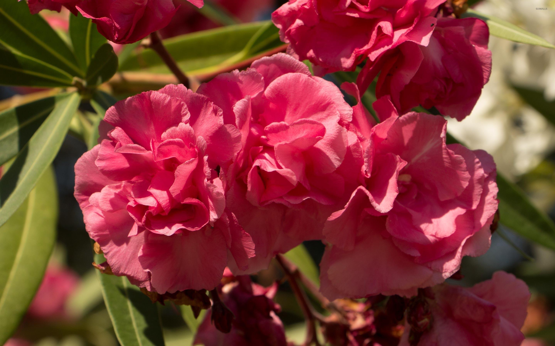 Pink Nerium oleander blossoms in the sunlight wallpaper - Flower ...