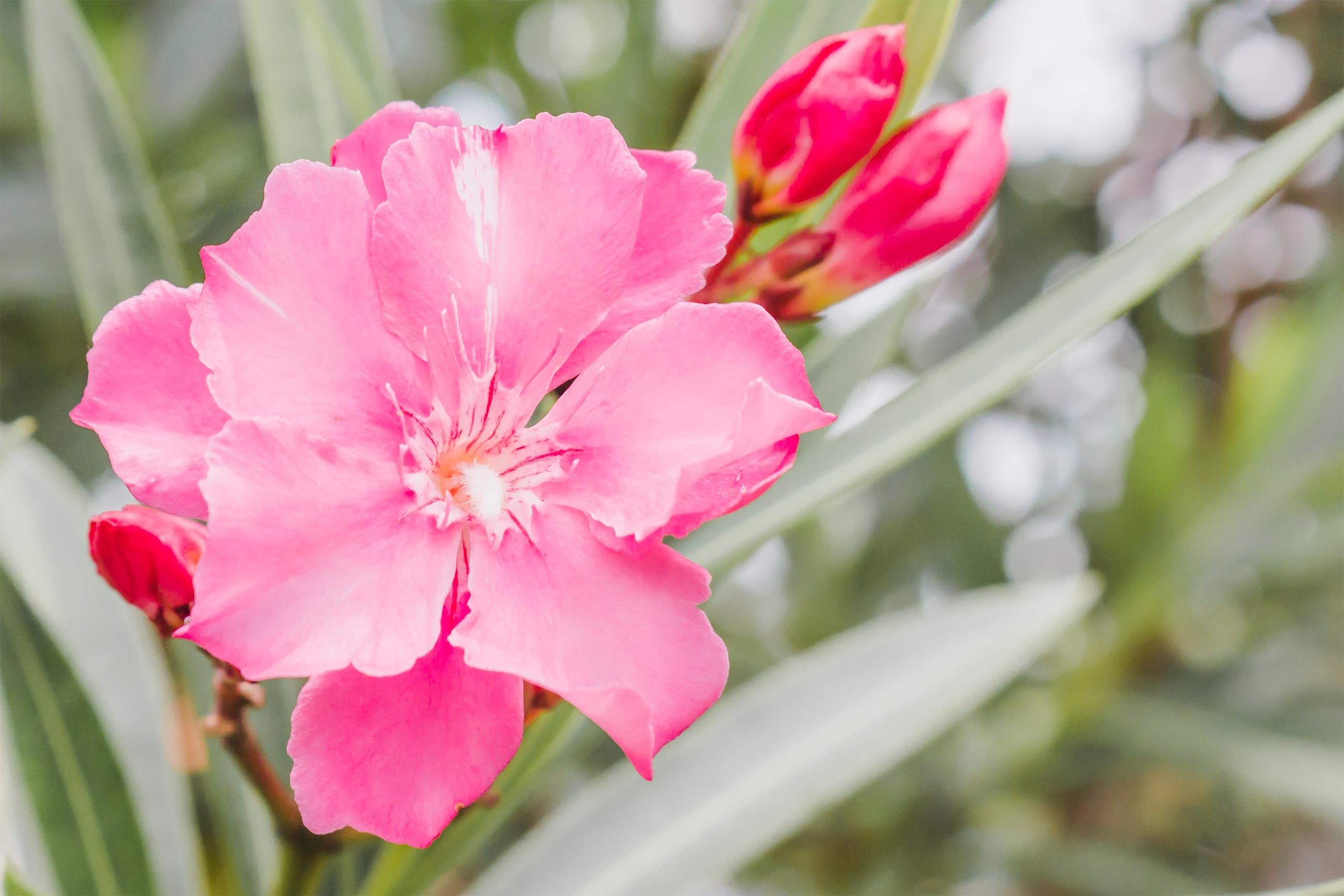 Oleander rose flower, Petal, Green, Herb, Inflorescence, HQ Photo
