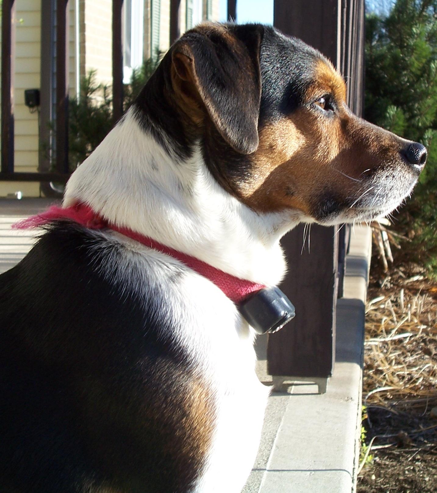 On Guard, Animal, Bspo06, Collar, Dog, HQ Photo