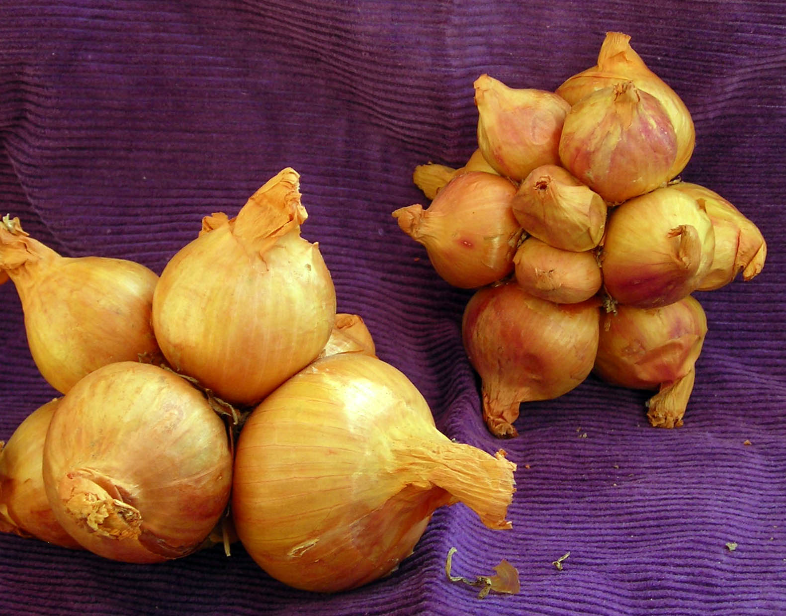 Yellow Potato Onion, 8 oz. : Southern Exposure Seed Exchange, Saving ...