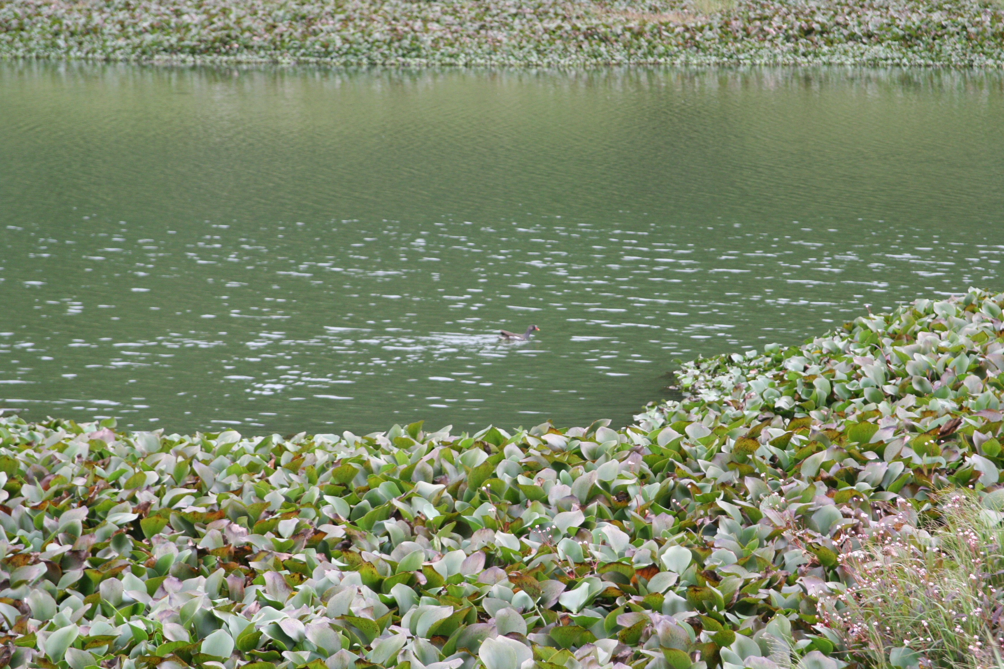 Ootty, Flowers, Green, Lake, Pond, HQ Photo