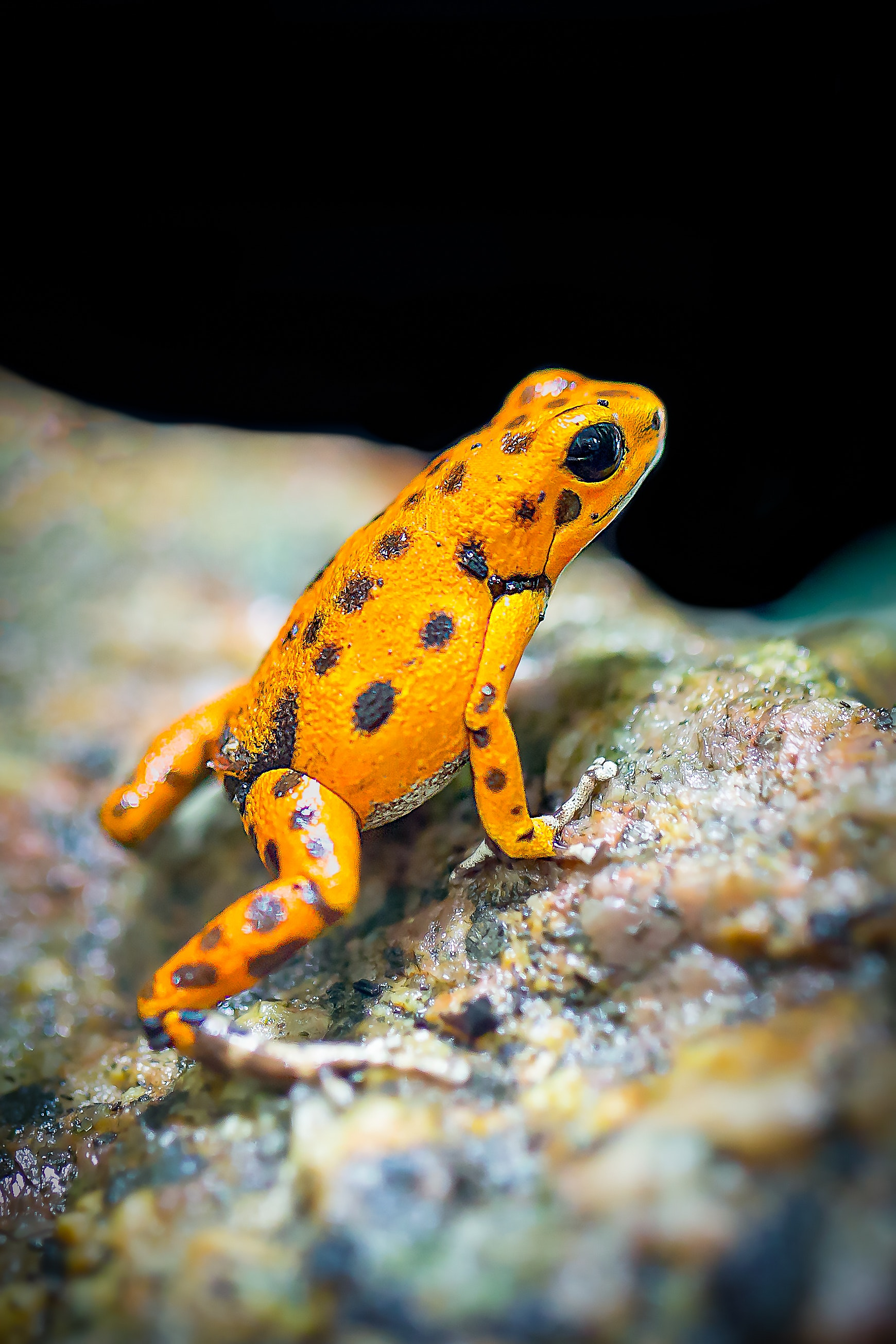 Orange and black frog photo