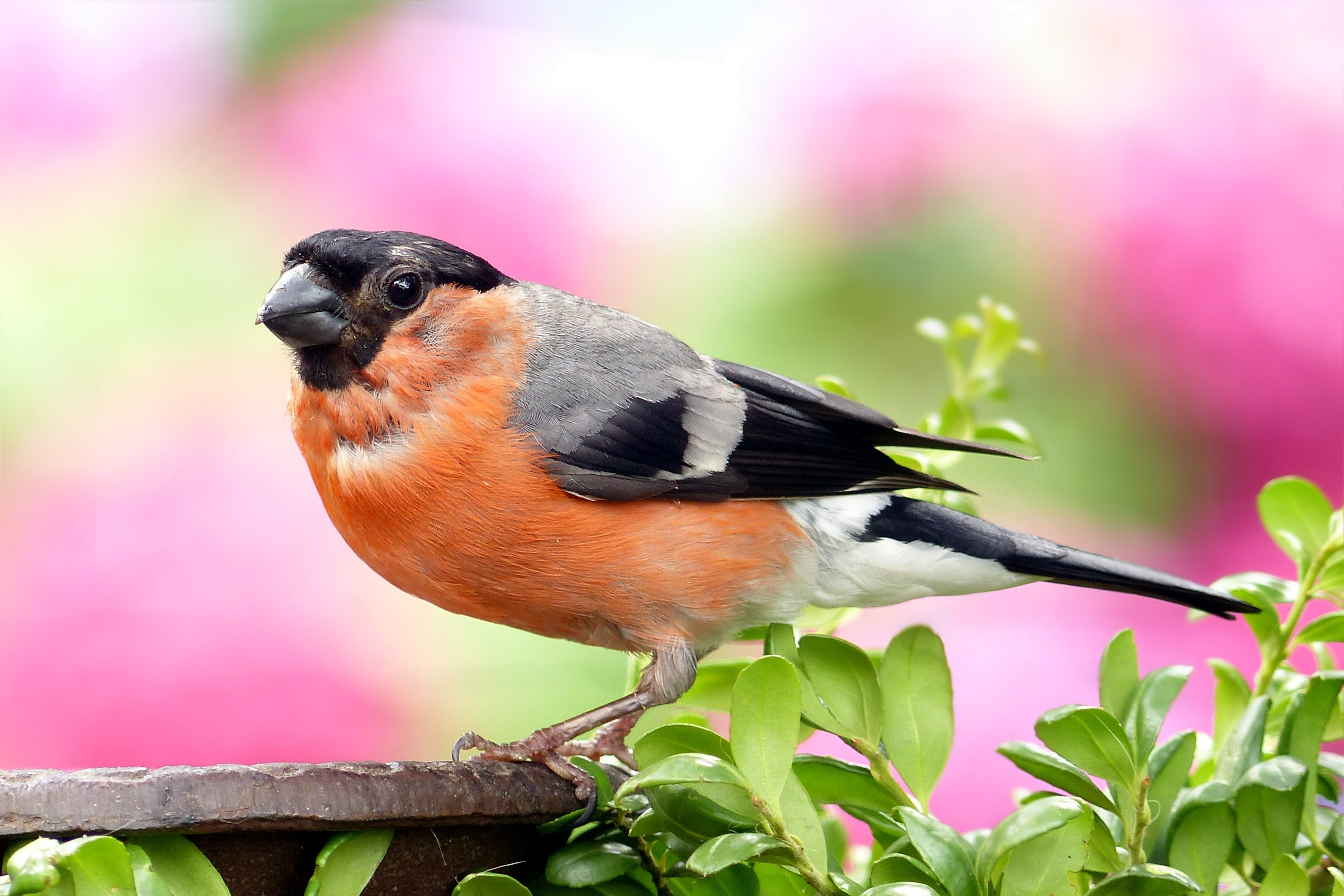 Orange and Grey Black Small Bick Bird, Perched, Plumage, Nature, Bullfinch, HQ Photo