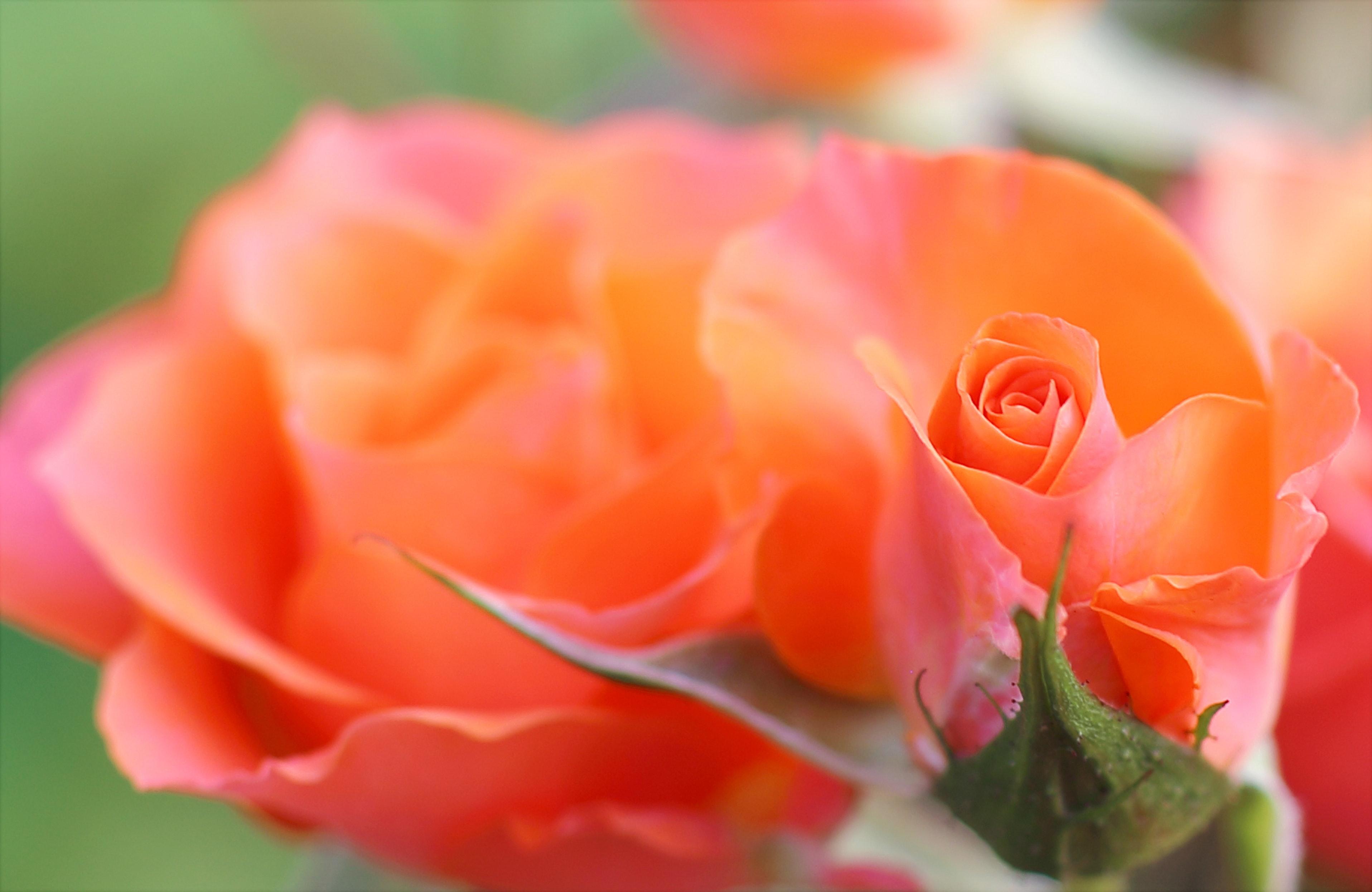Orange and pink flower photo