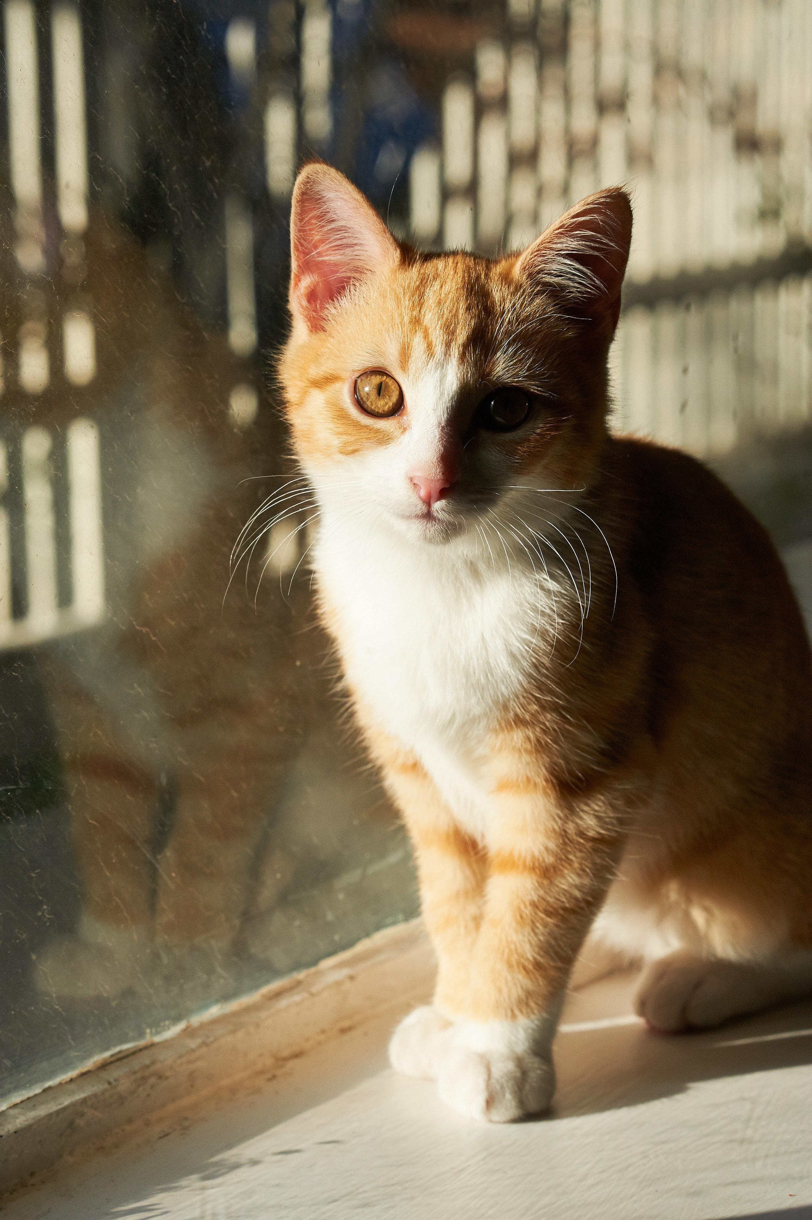 Orange and white cat photo