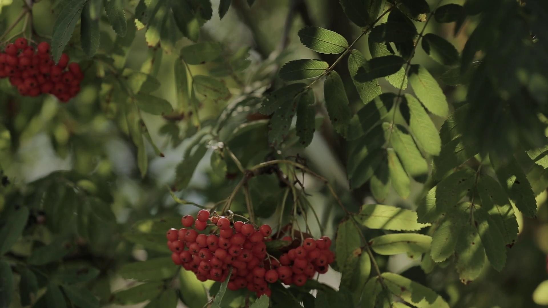 Closeup of orange Rowan berries or Mountain Ash tree with ripe ...