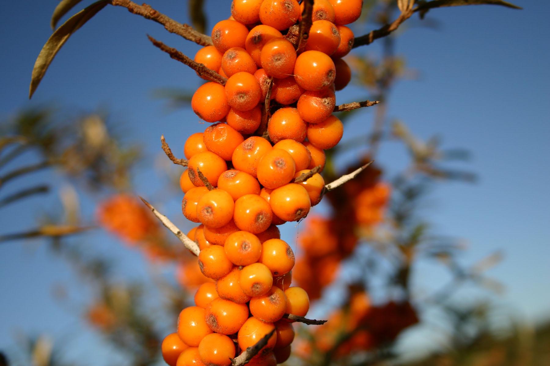 Orange berries closeup, Berries, Berry, Closeup, Orange, HQ Photo