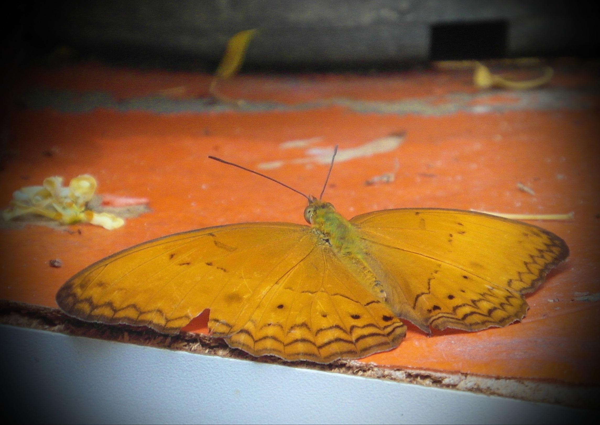 Orange butterfly photo