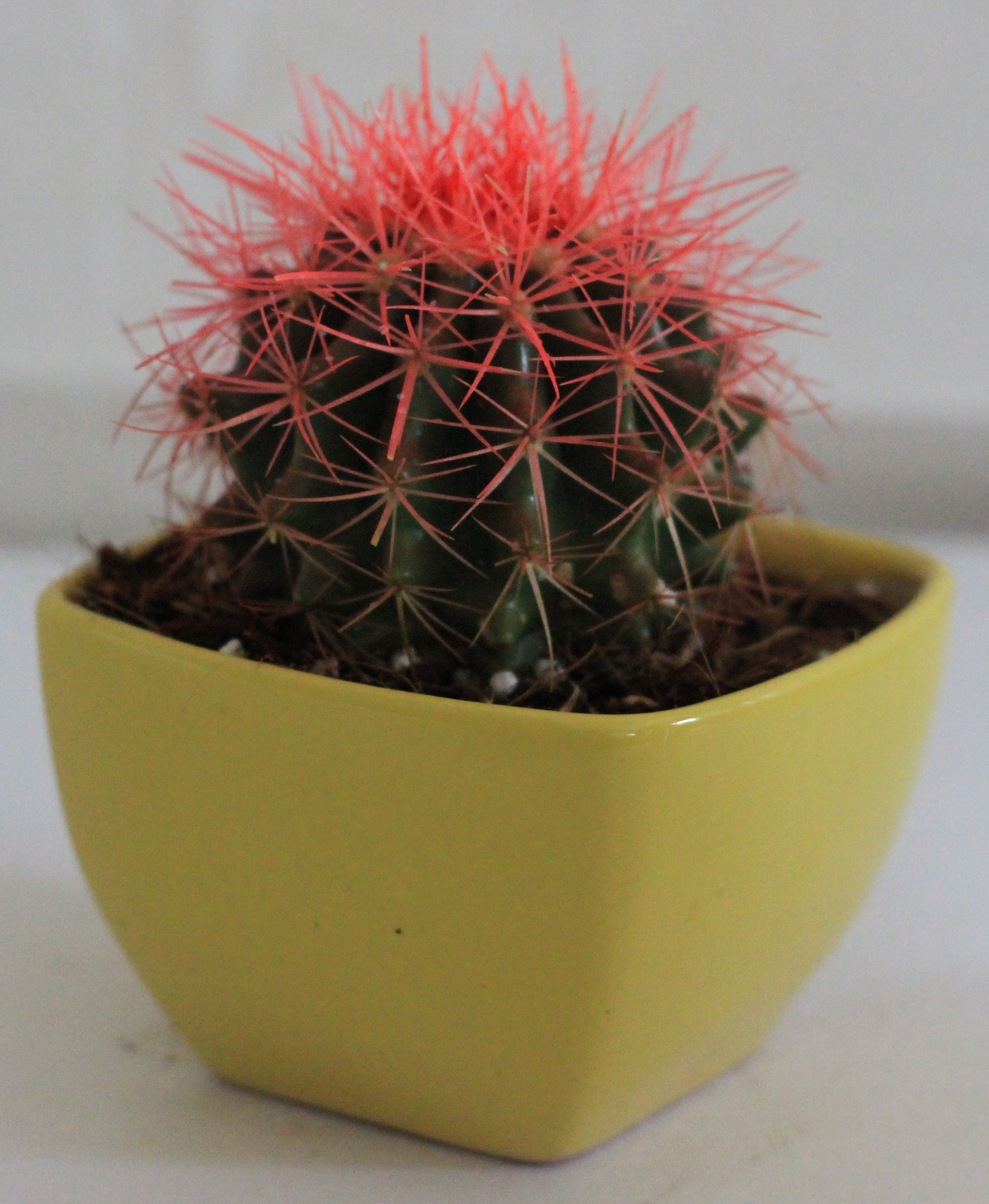 Buy Echinocactus grusonii Painted Non-Grafted Pink-Orange Cactus ...