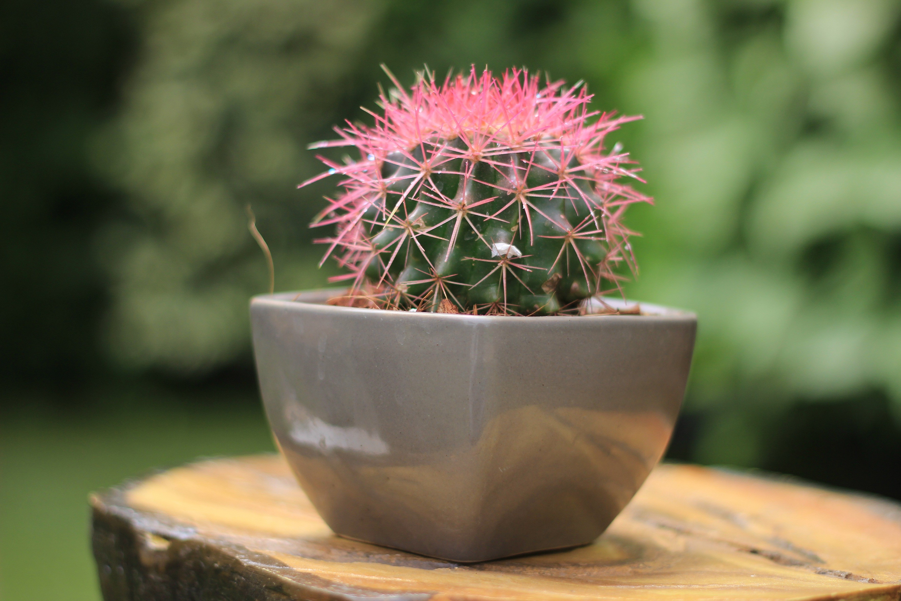 Buy Echinocactus grusonii Painted Non-Grafted Rose-Orange Cactus ...
