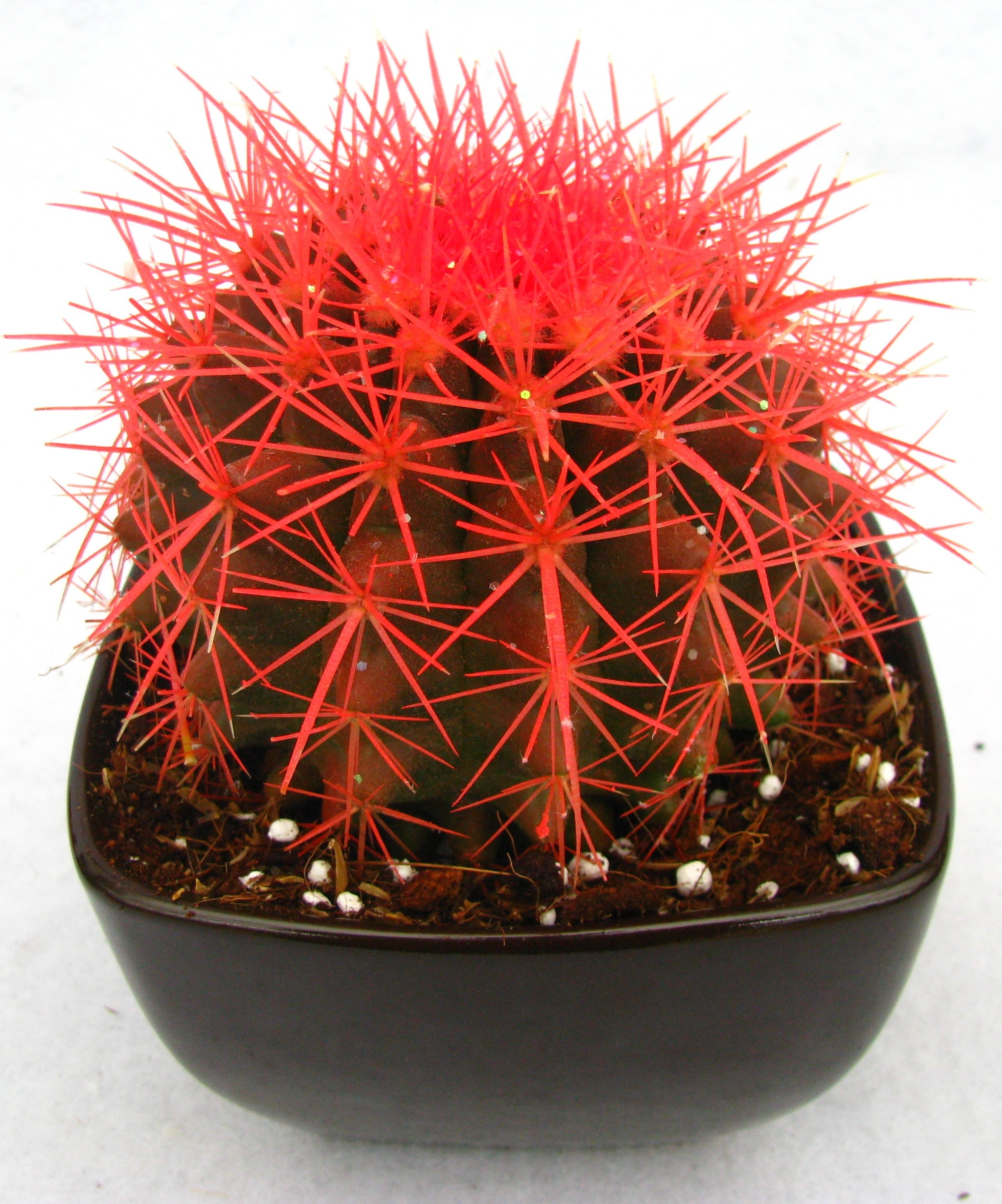 Buy Echinocactus grusonii Painted Non-Grafted Orange Cactus Online ...