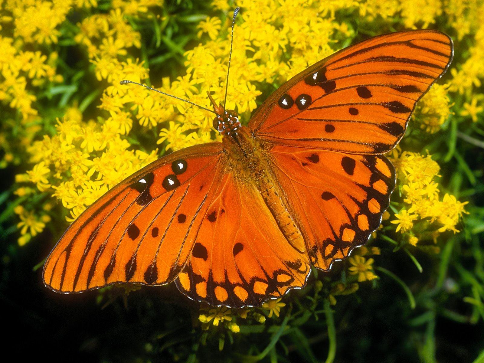 free photo orange colored butterfly nature wild orange free