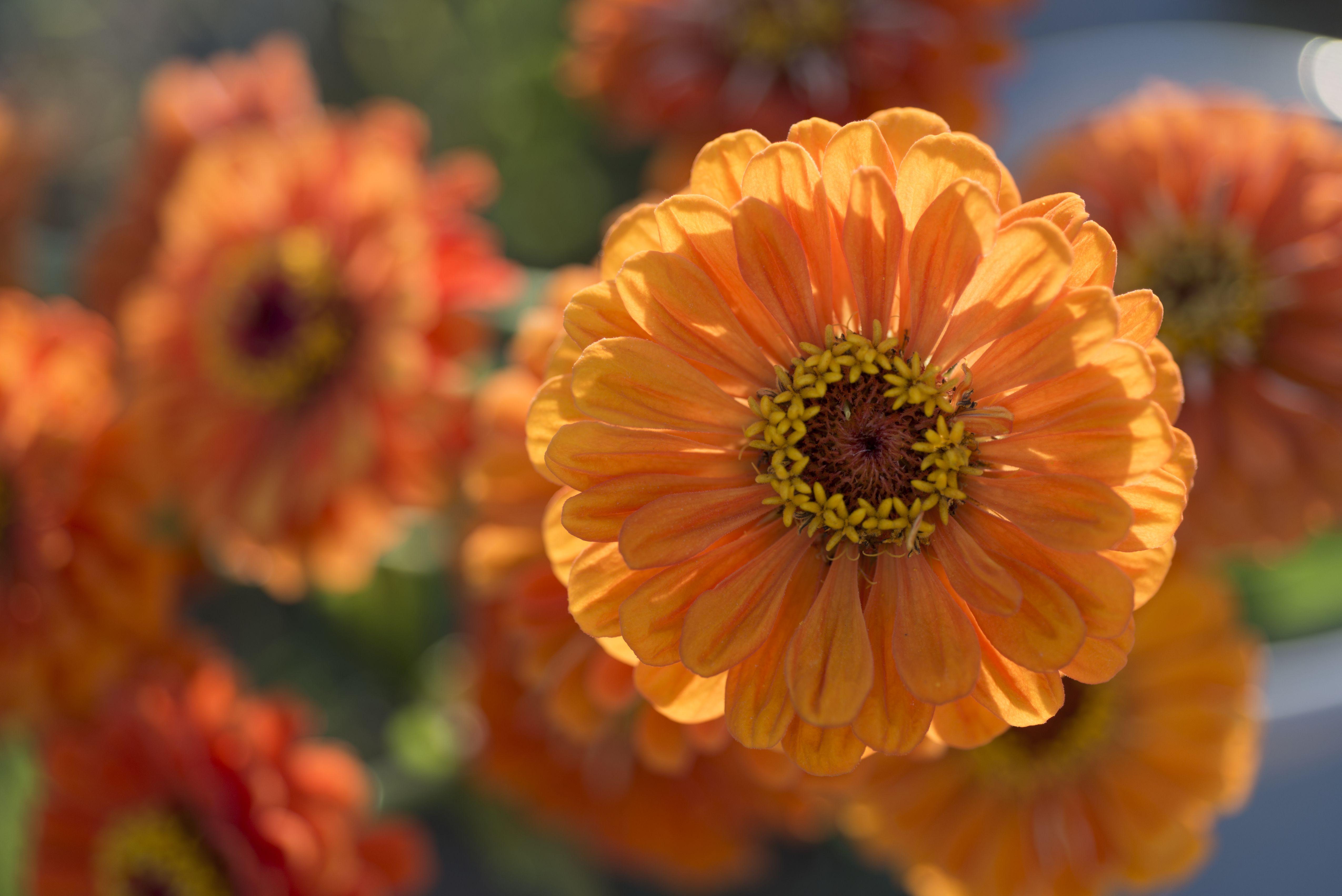 Free Photo Orange Flower Garden Nature Ranunculus Free