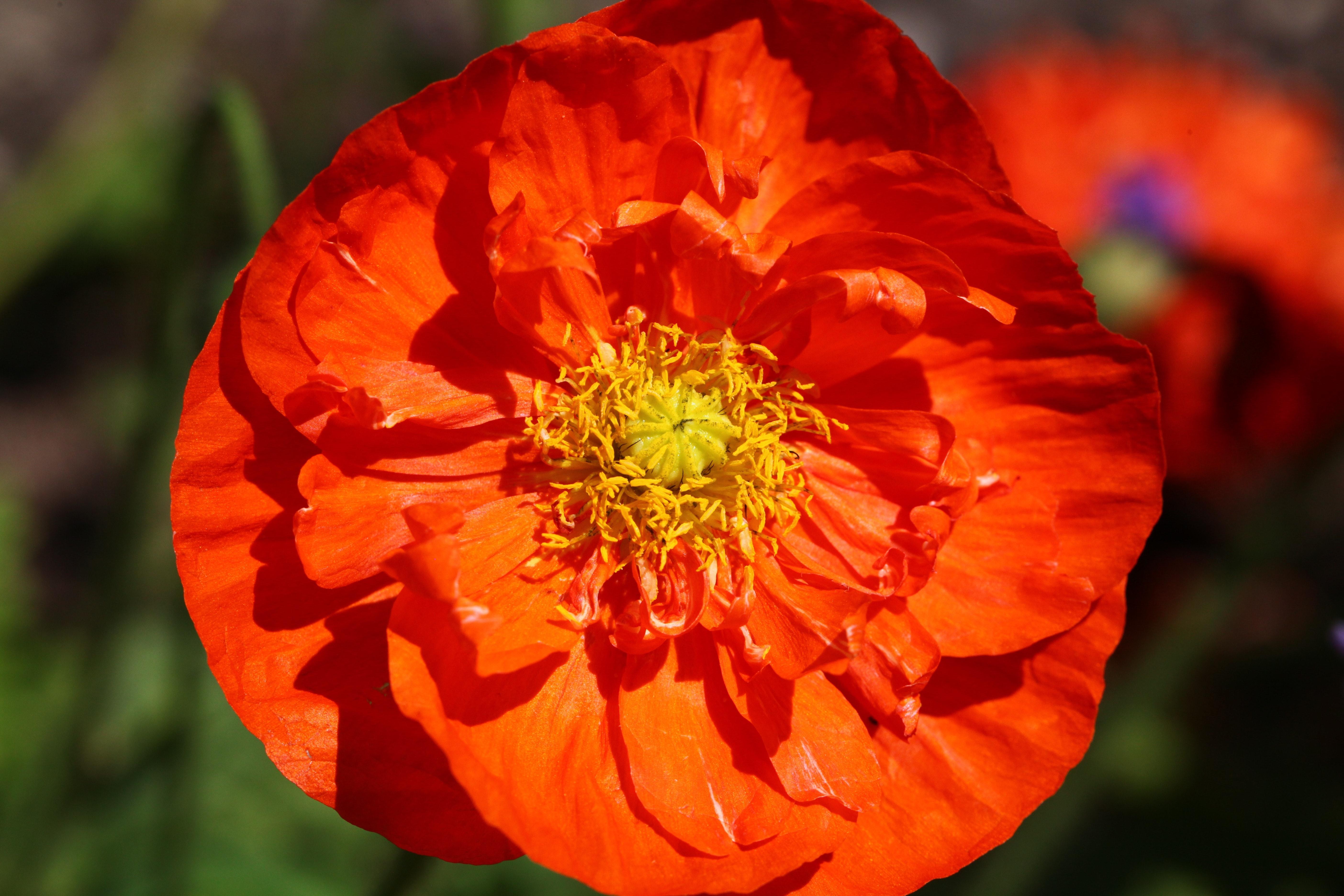 Orange Flower With Yellow Petals, Nature, Orange, Plant, Poppy, HQ Photo