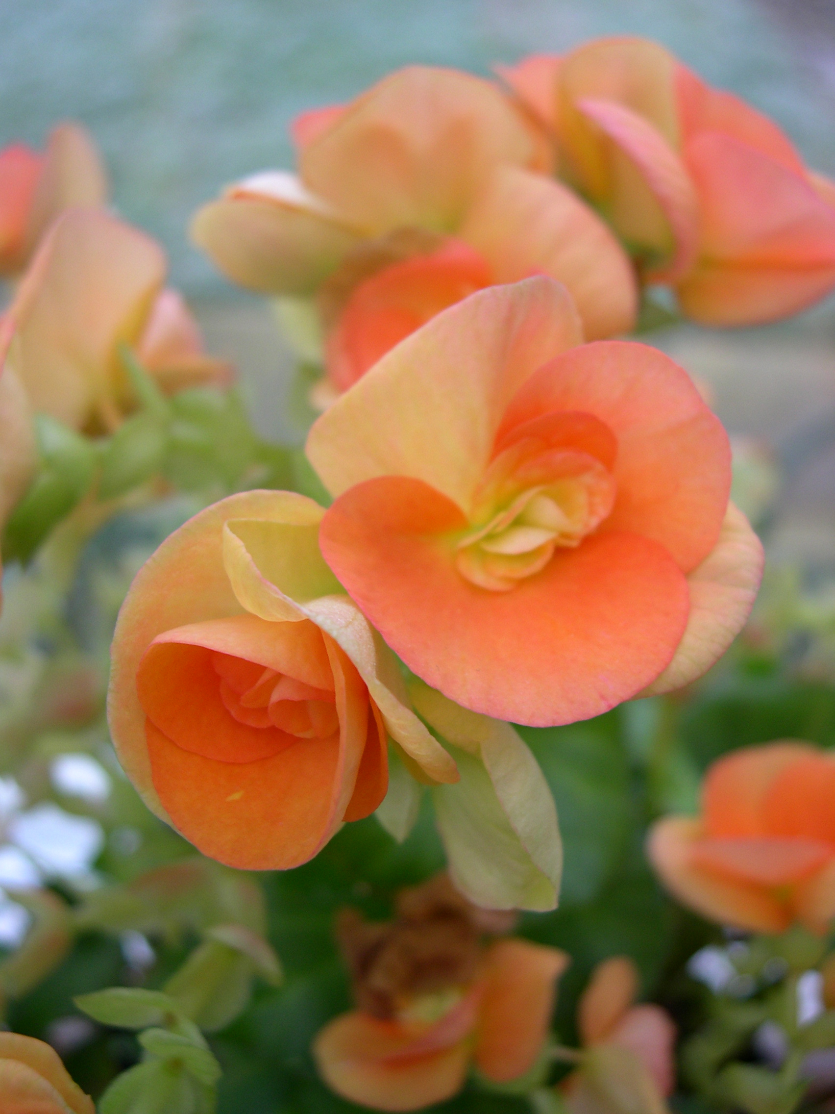 Free Photo Orange Flowers Orange Pedals Season Free Download